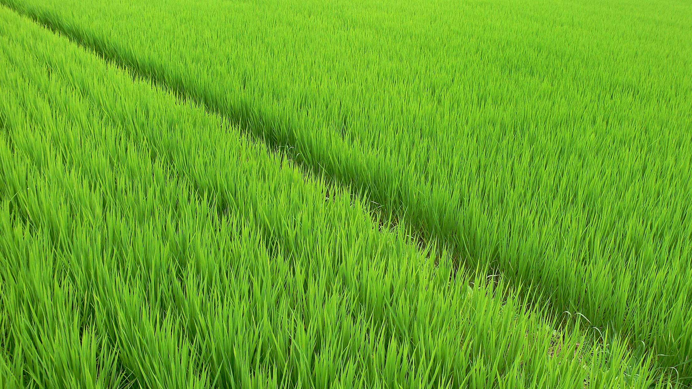 File:Rice fields - panoramio (7).jpg - Wikimedia Commons