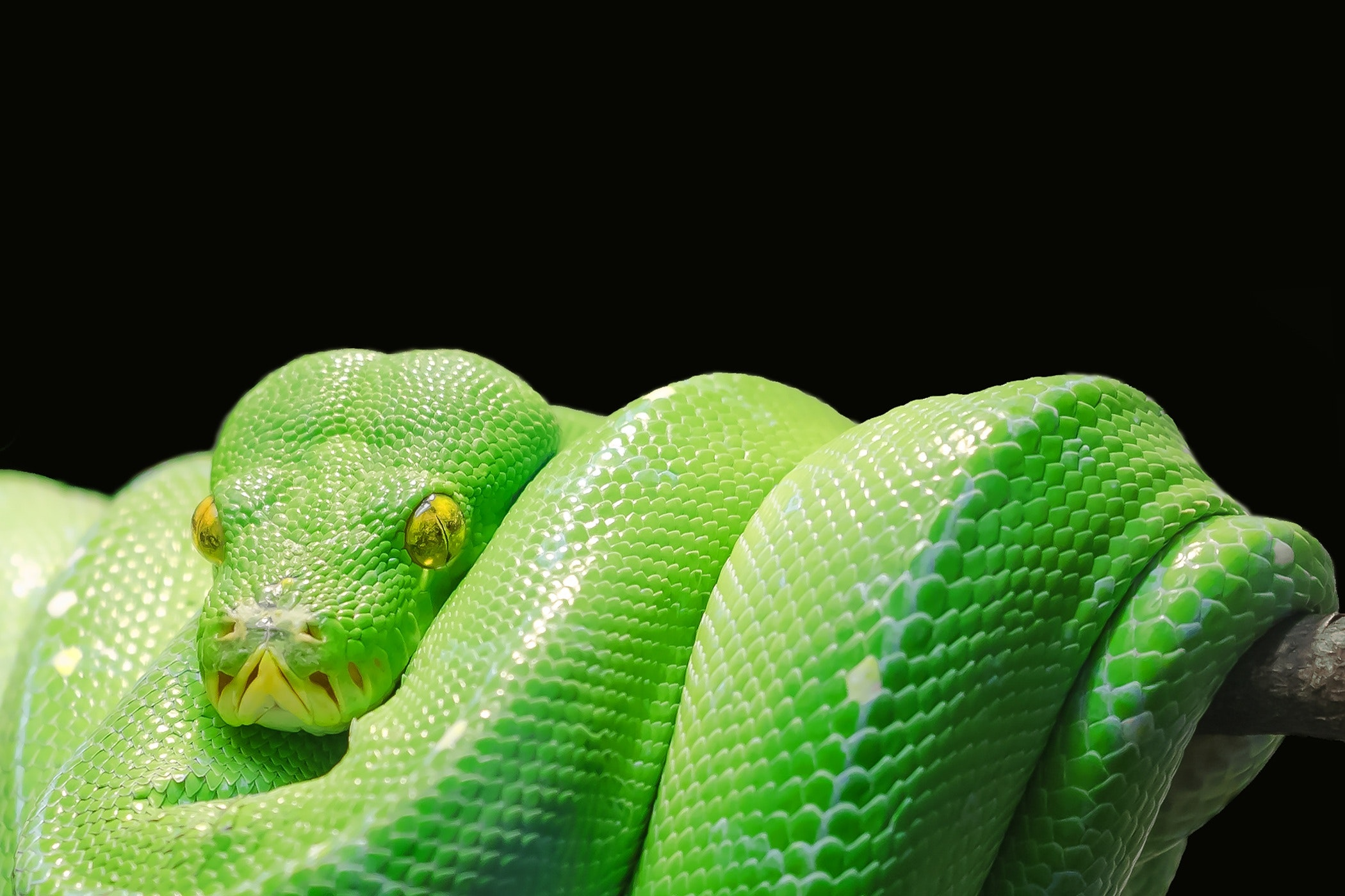 Green Snake, Animal, Close-up, Green, Python, HQ Photo