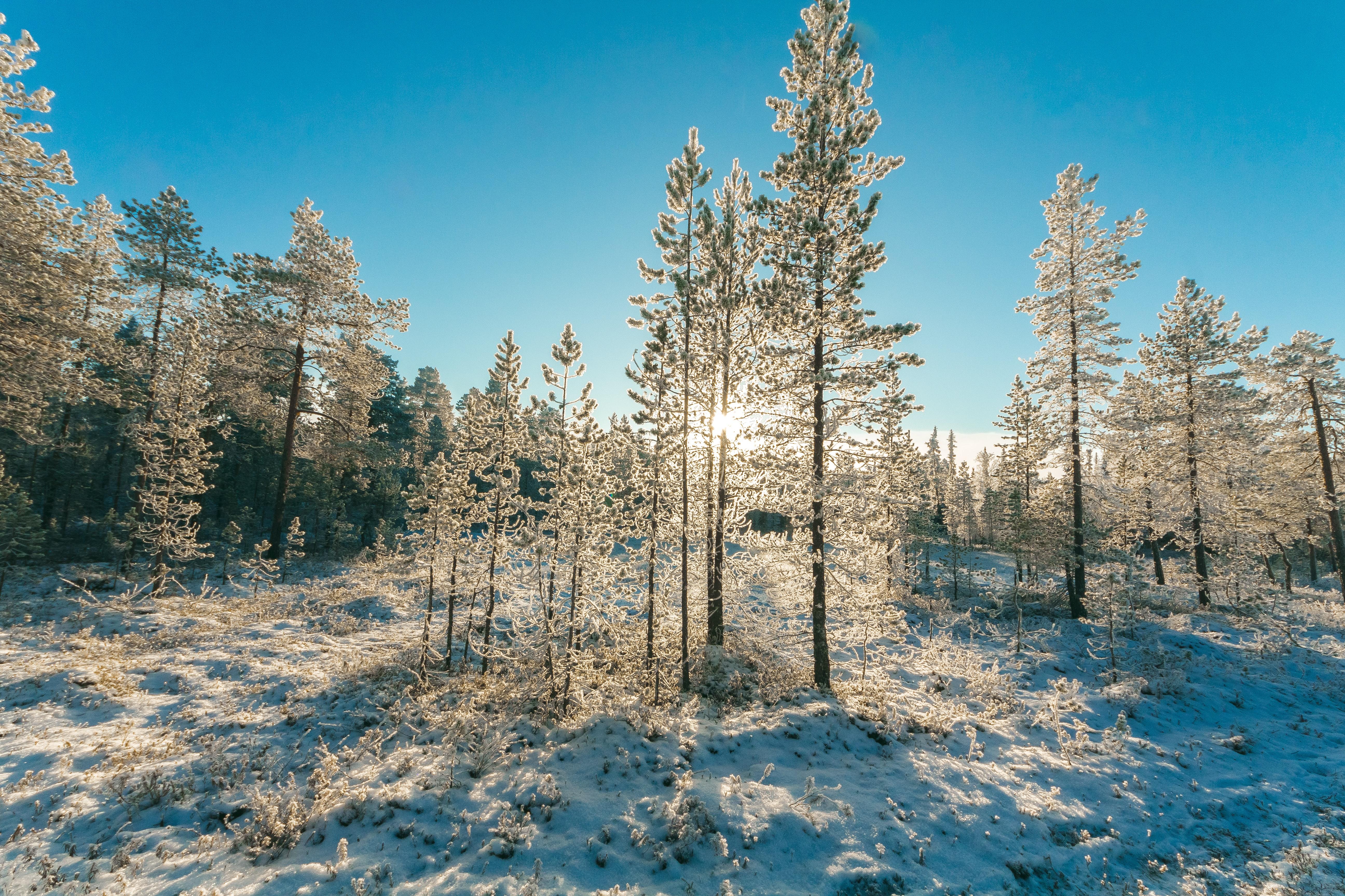 Green Tree With Snows, Cold, Scene, Winter landscape, Winter, HQ Photo