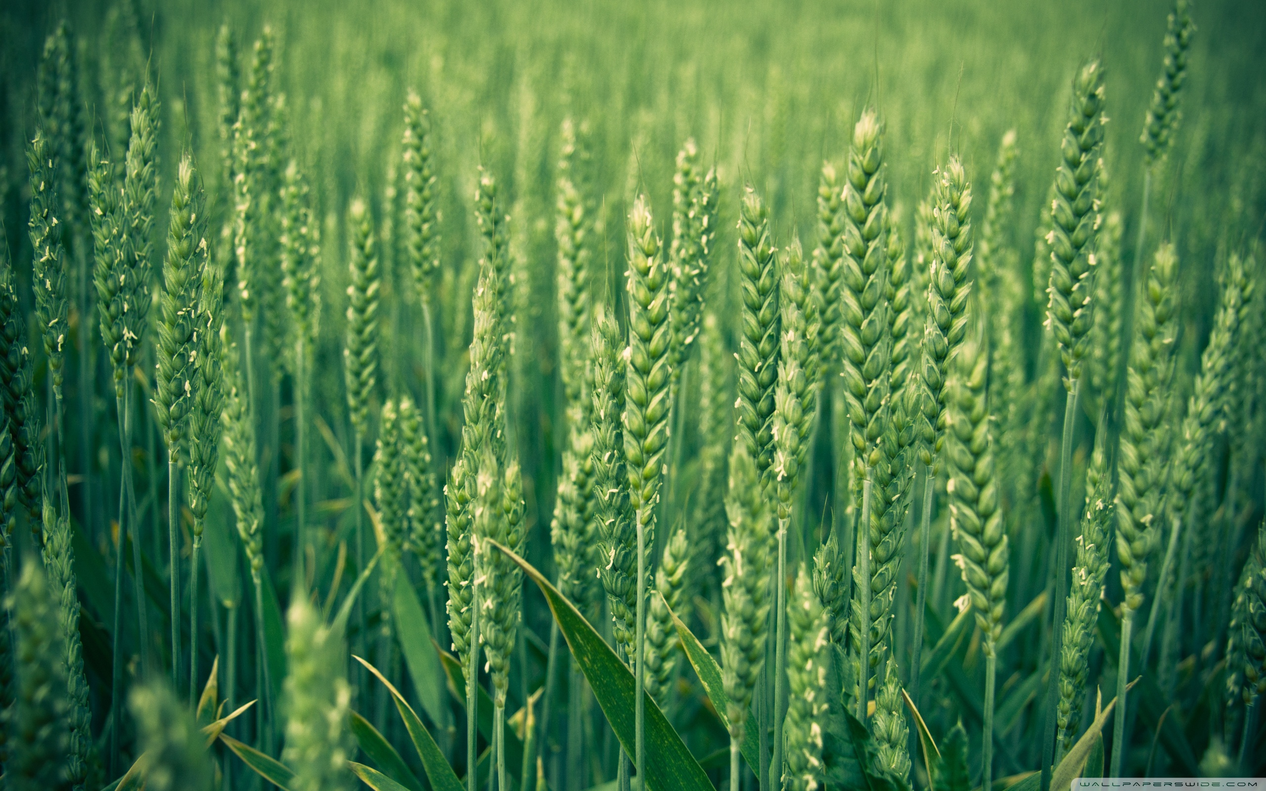 Green Wheat ❤ 4K HD Desktop Wallpaper for 4K Ultra HD TV • Tablet ...