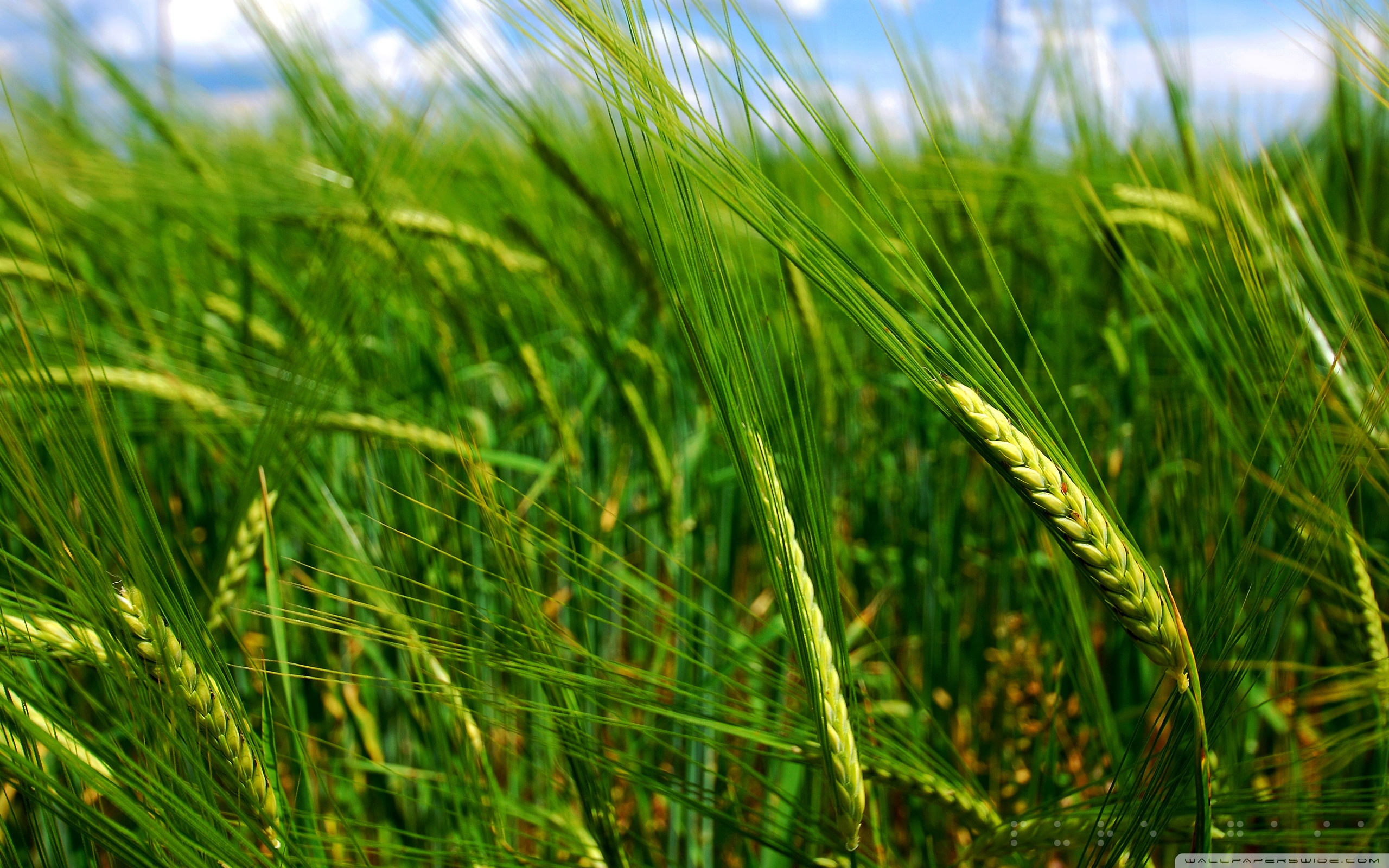 Green Wheat Spikes ❤ 4K HD Desktop Wallpaper for 4K Ultra HD TV ...