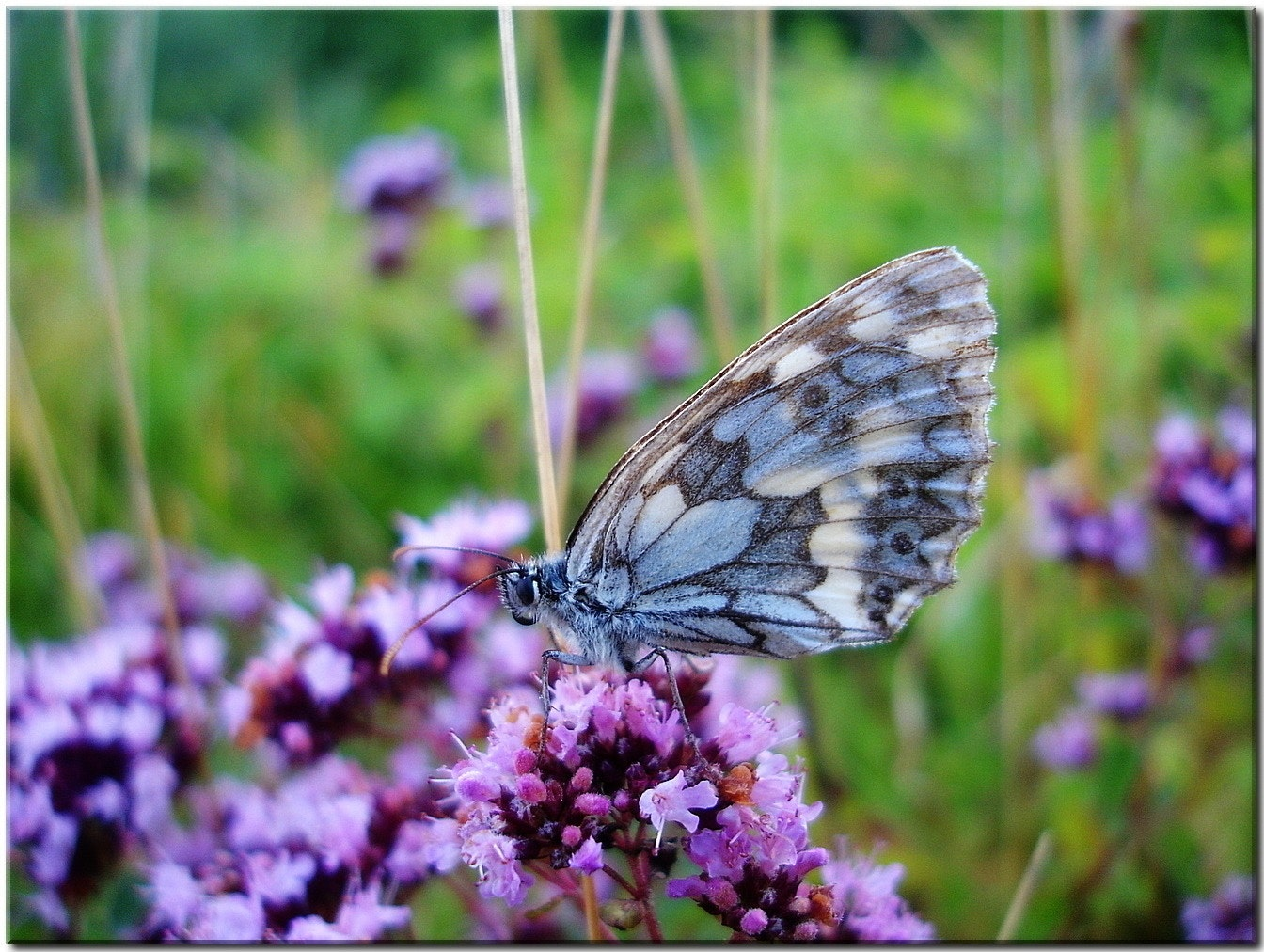 Grey and Blue Butterfly on Purple Flower during Daytime, Butterfly, Close-up, Flora, Flowers, HQ Photo