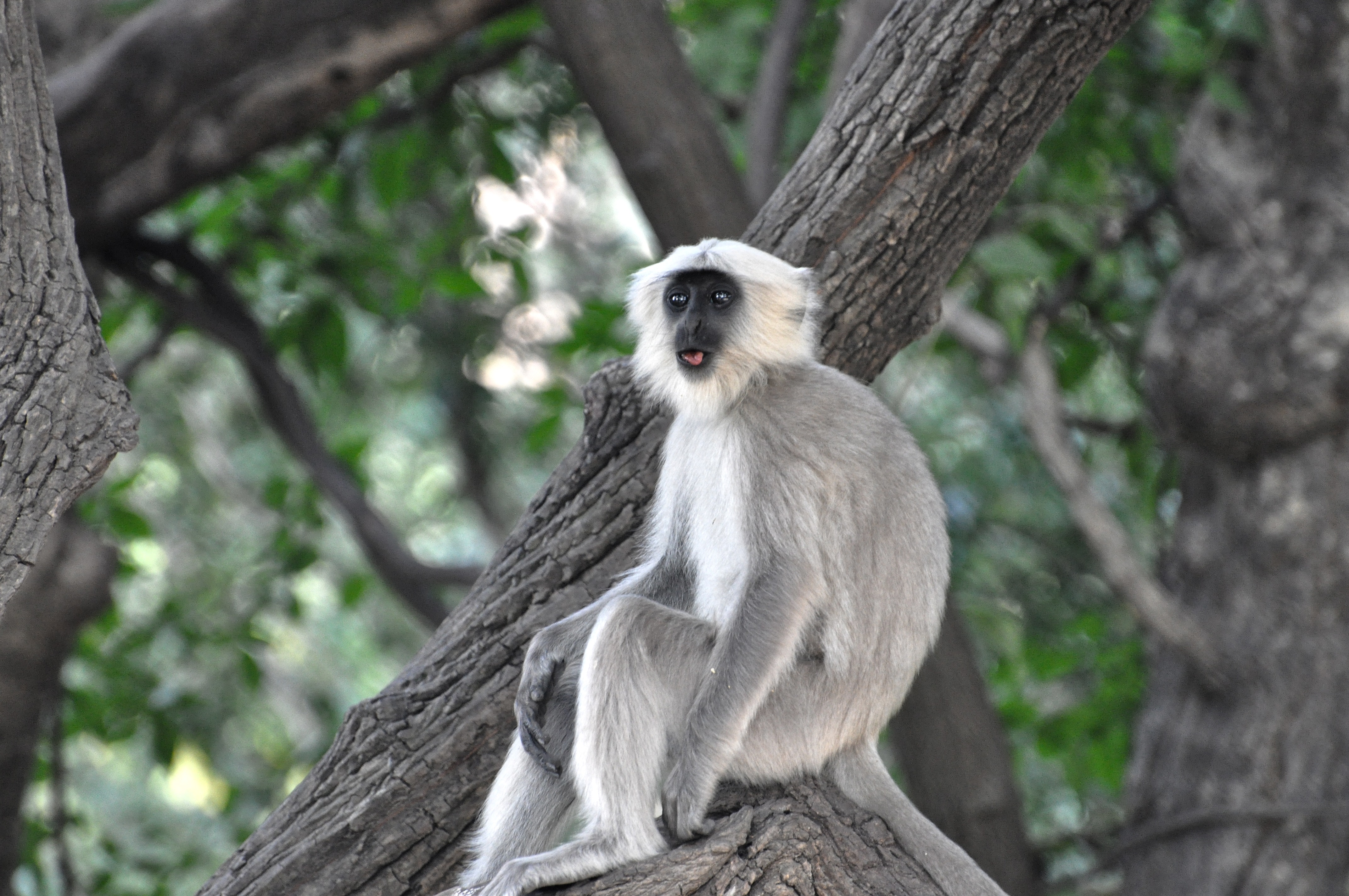 Grey and White Monkey on Tree Branch, Animal, Outdoors, Wood, Wildlife, HQ Photo