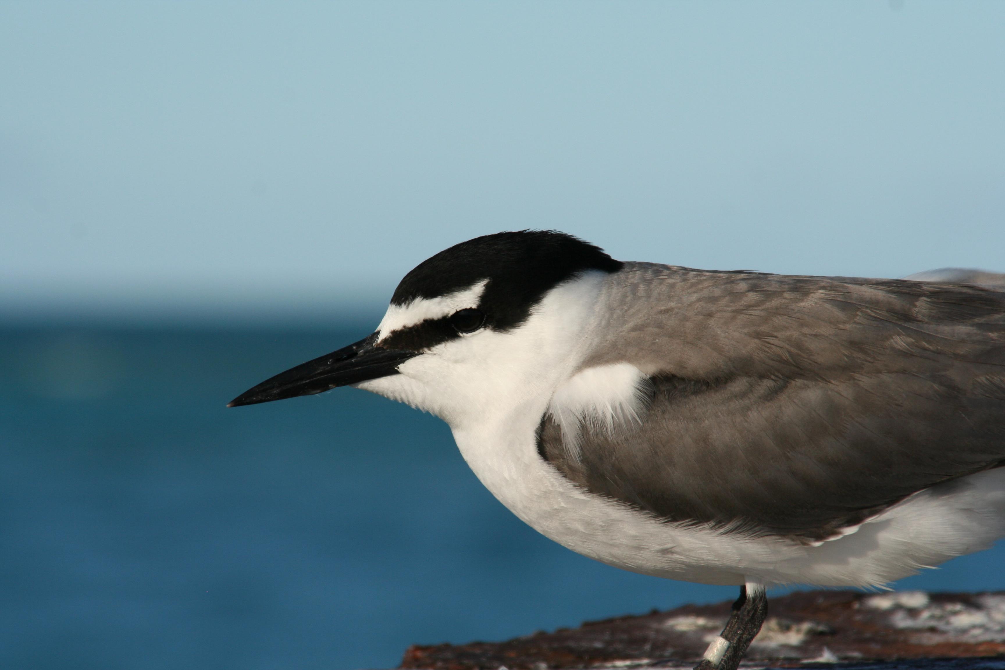 Grey backed tern photo