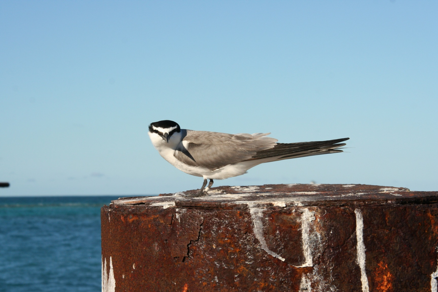 Grey backed tern photo