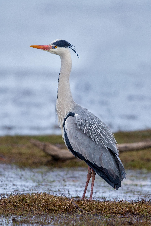 Grey heron - Wikipedia