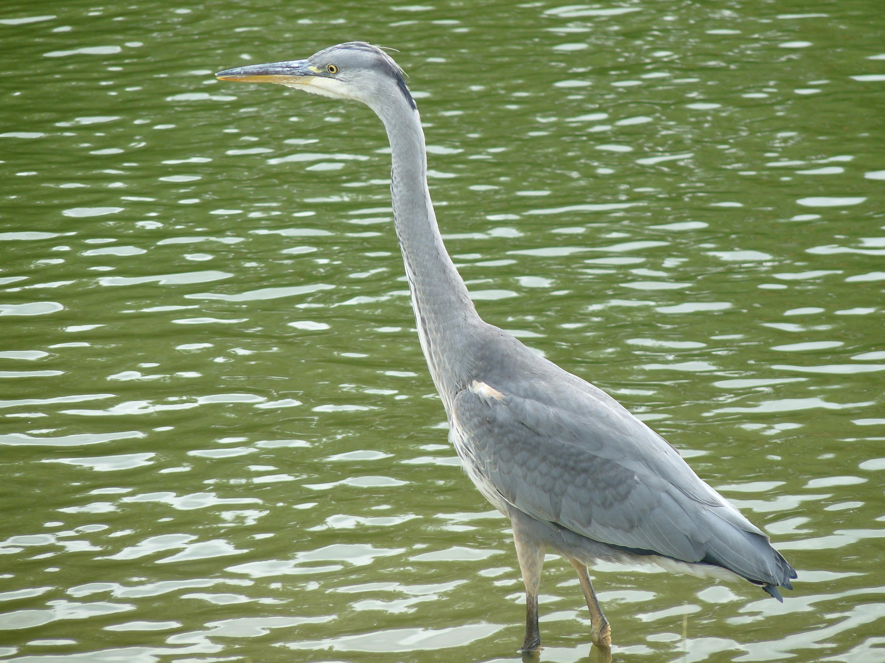 File:Grey Heron (5964308329).jpg - Wikimedia Commons