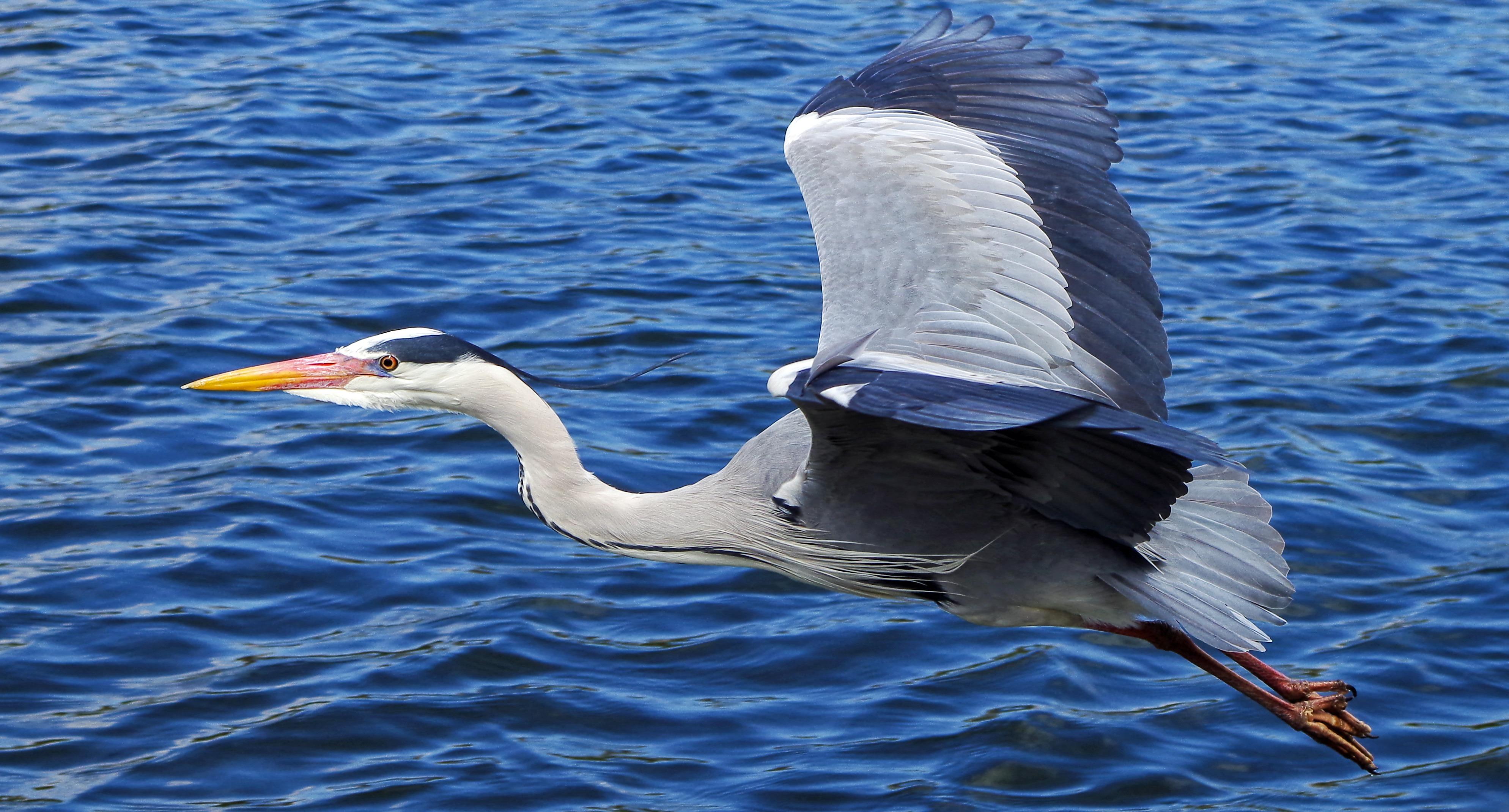 Grey Heron, Animal, Bird, Blue, Flow, HQ Photo