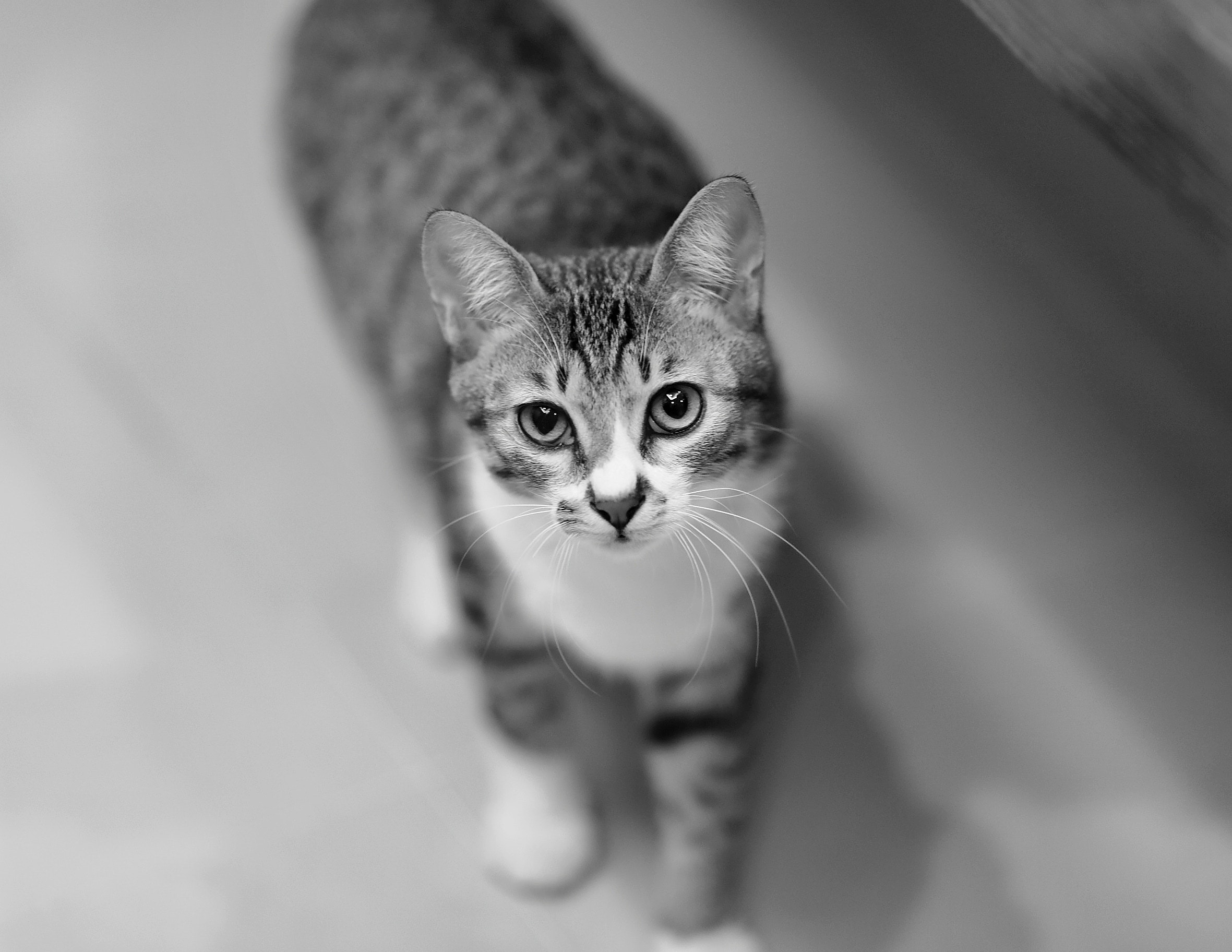Free Photo Grey Tabby Cat Adorable Animal Black And White Free Download Jooinn