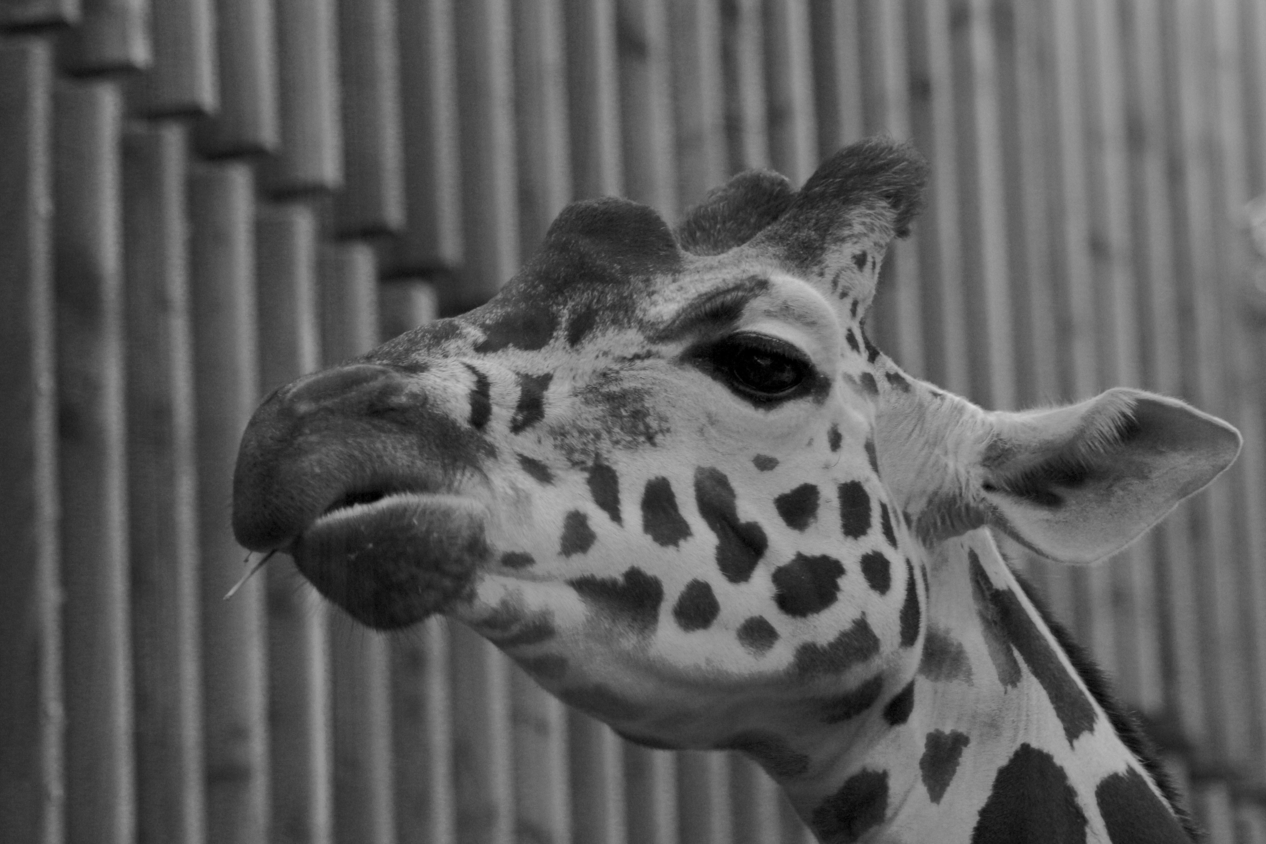 Greyscale photograph of giraffe