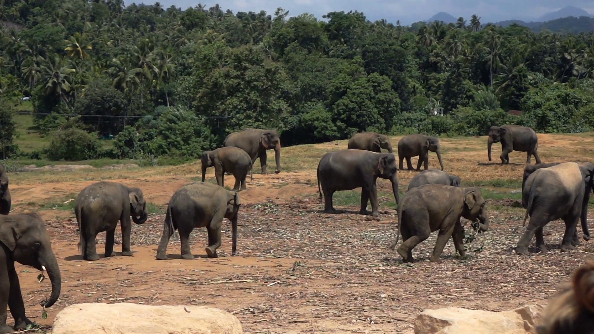 Group of elephants walking in orphanage in Sri Lanka, super slow ...