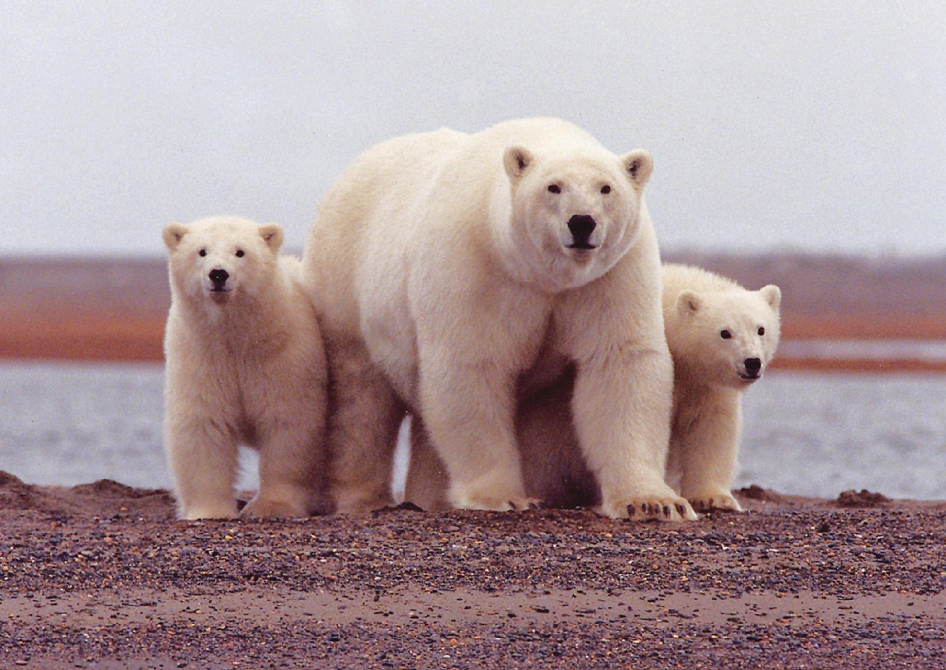 Group of polar bears photo