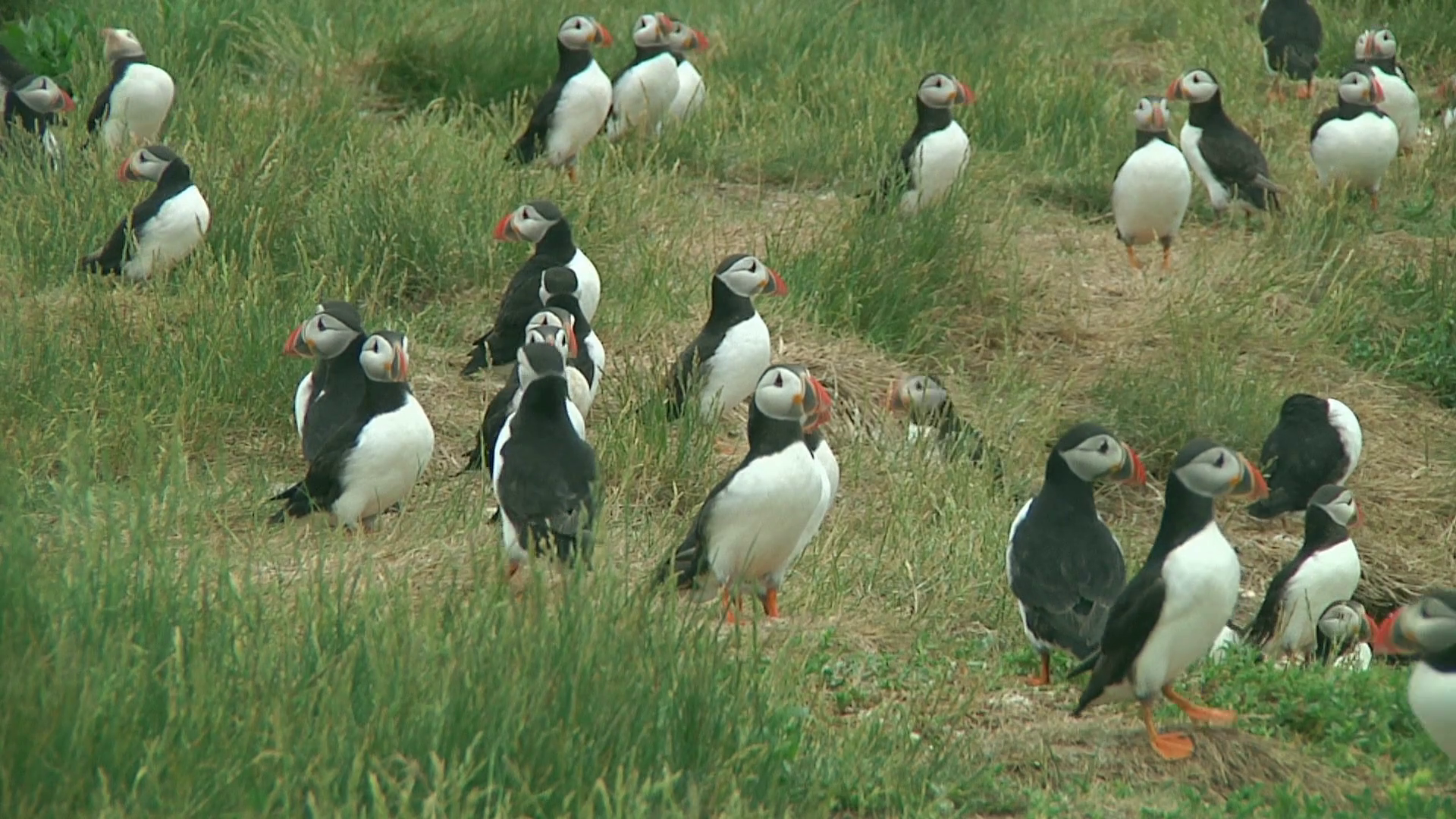 Group of puffins on the grass Stock Video Footage - VideoBlocks