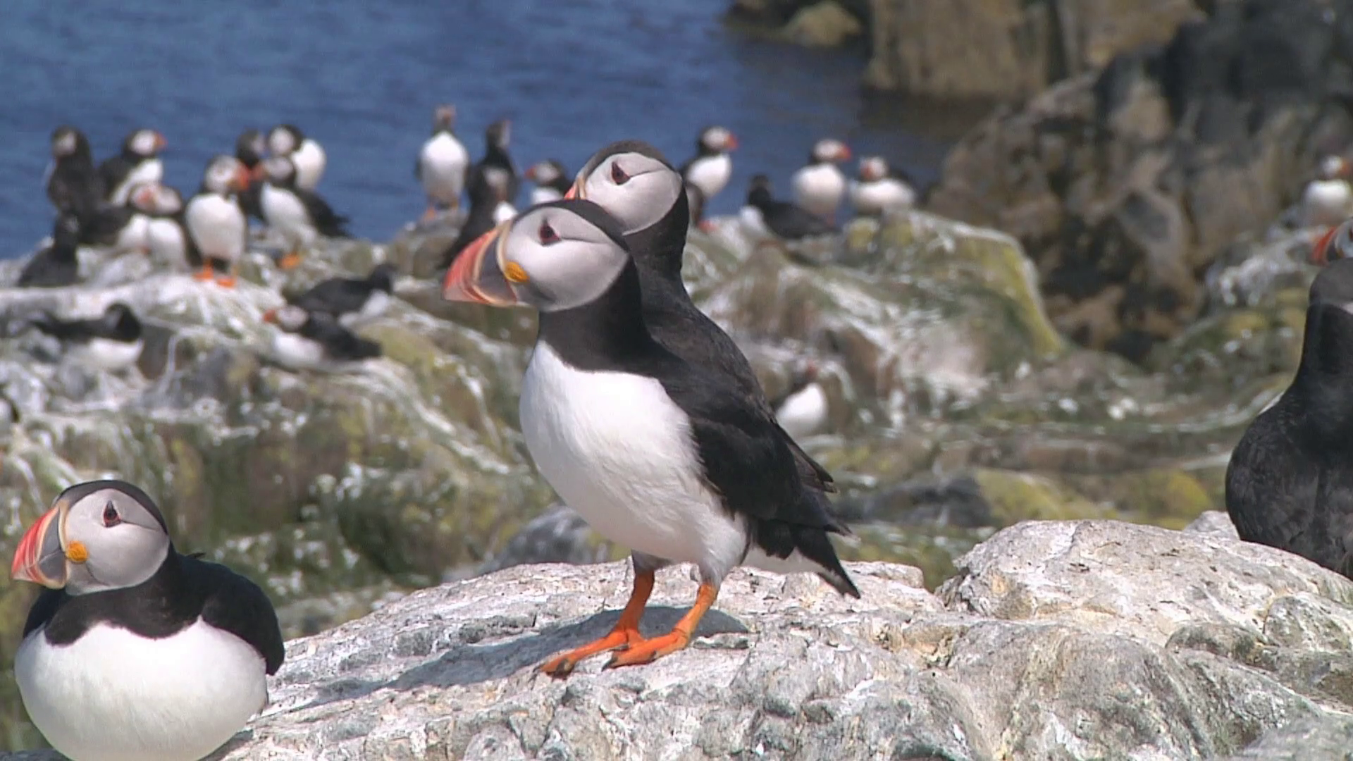 Group of puffins on the rocks in the UK Stock Video Footage ...