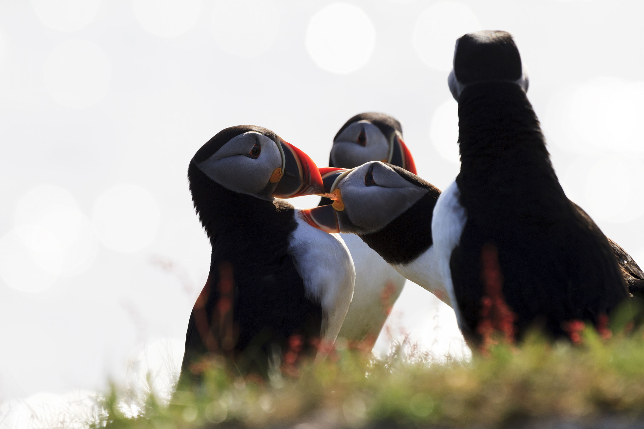 Group of Puffins, Reserve, Robust, Rocks, Rocky, HQ Photo