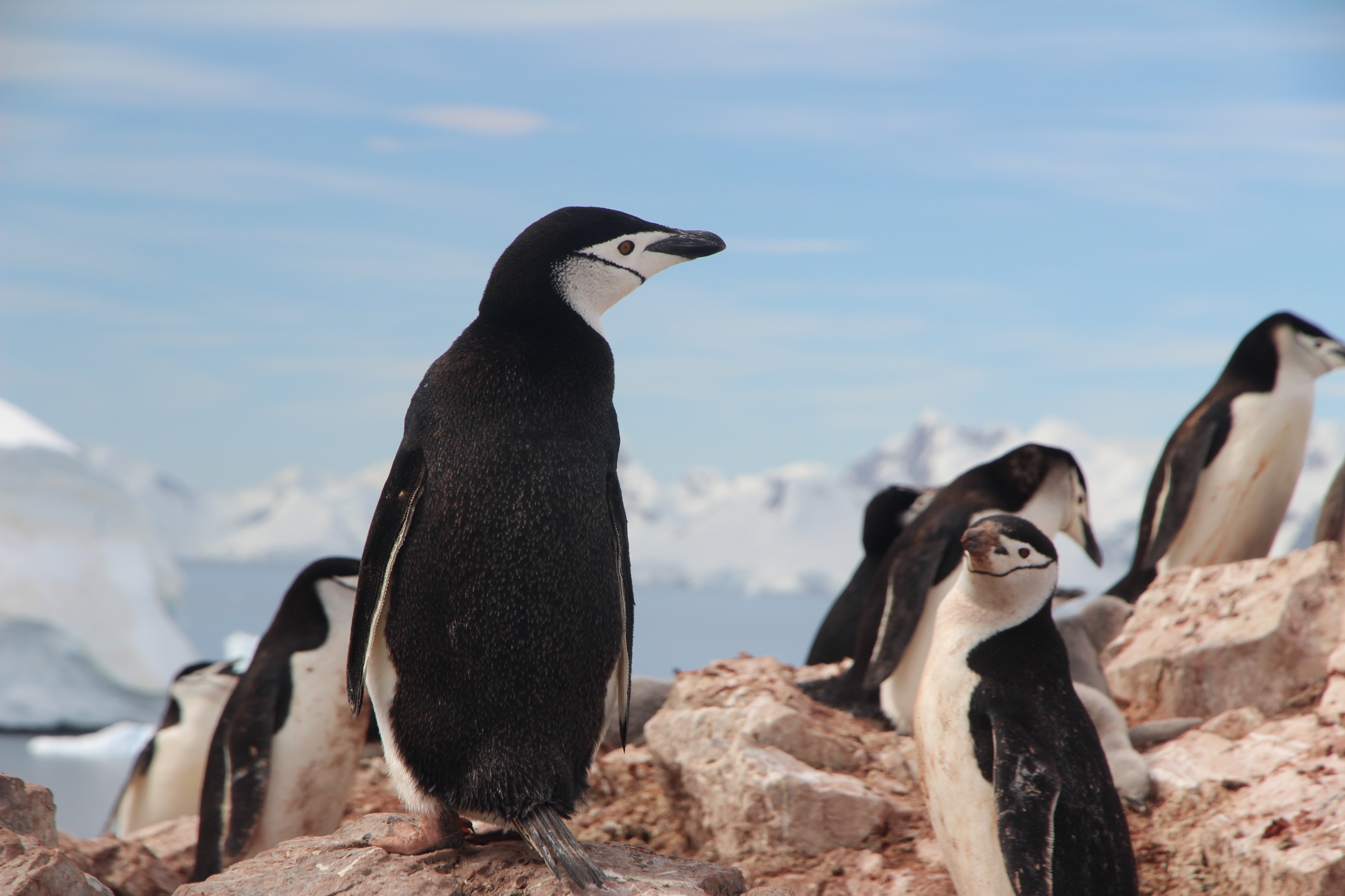 Group, chinstrap penguin