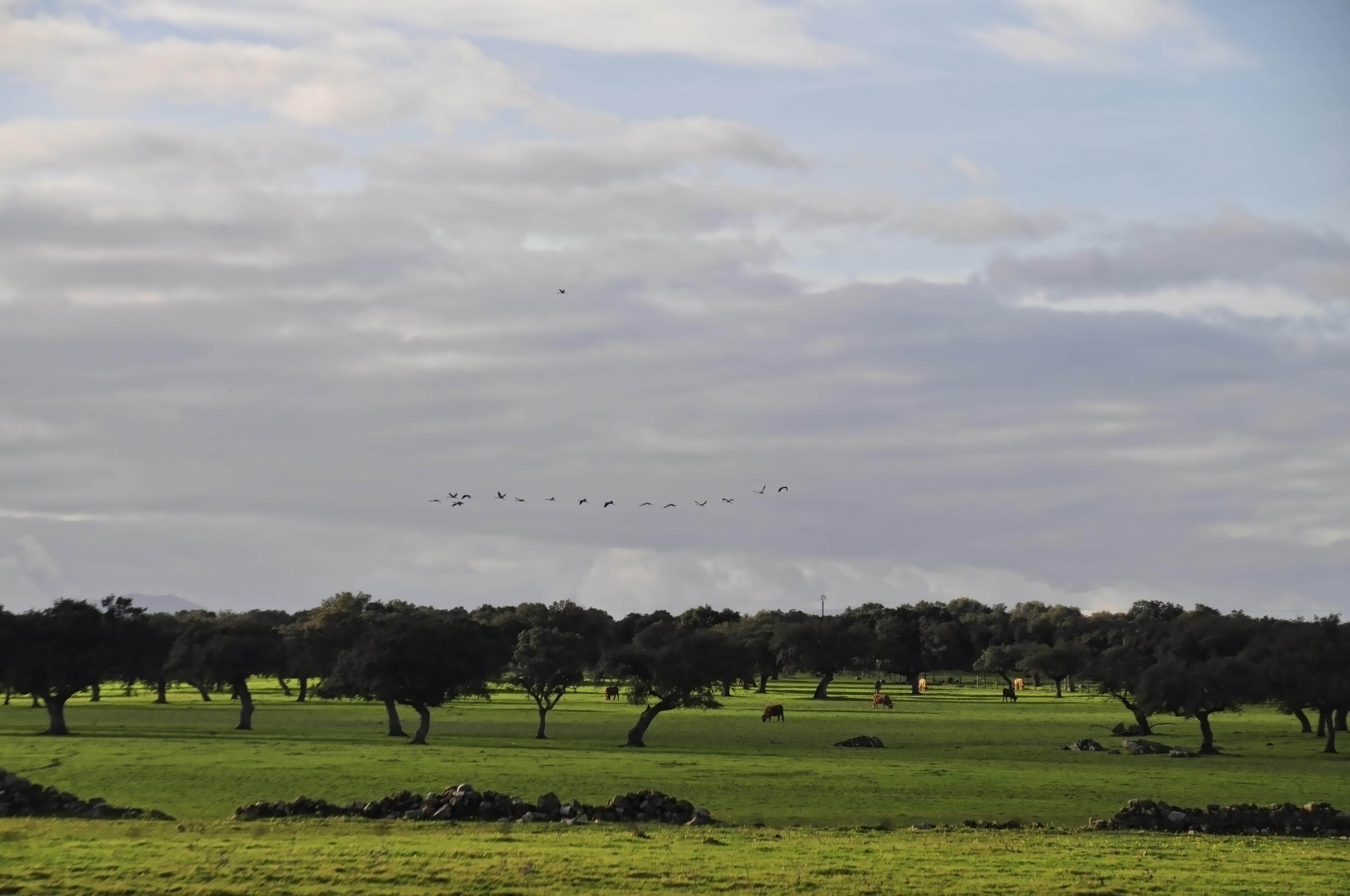 Grullas y Vacas, Árboles, Aves, Field, Grassland, HQ Photo