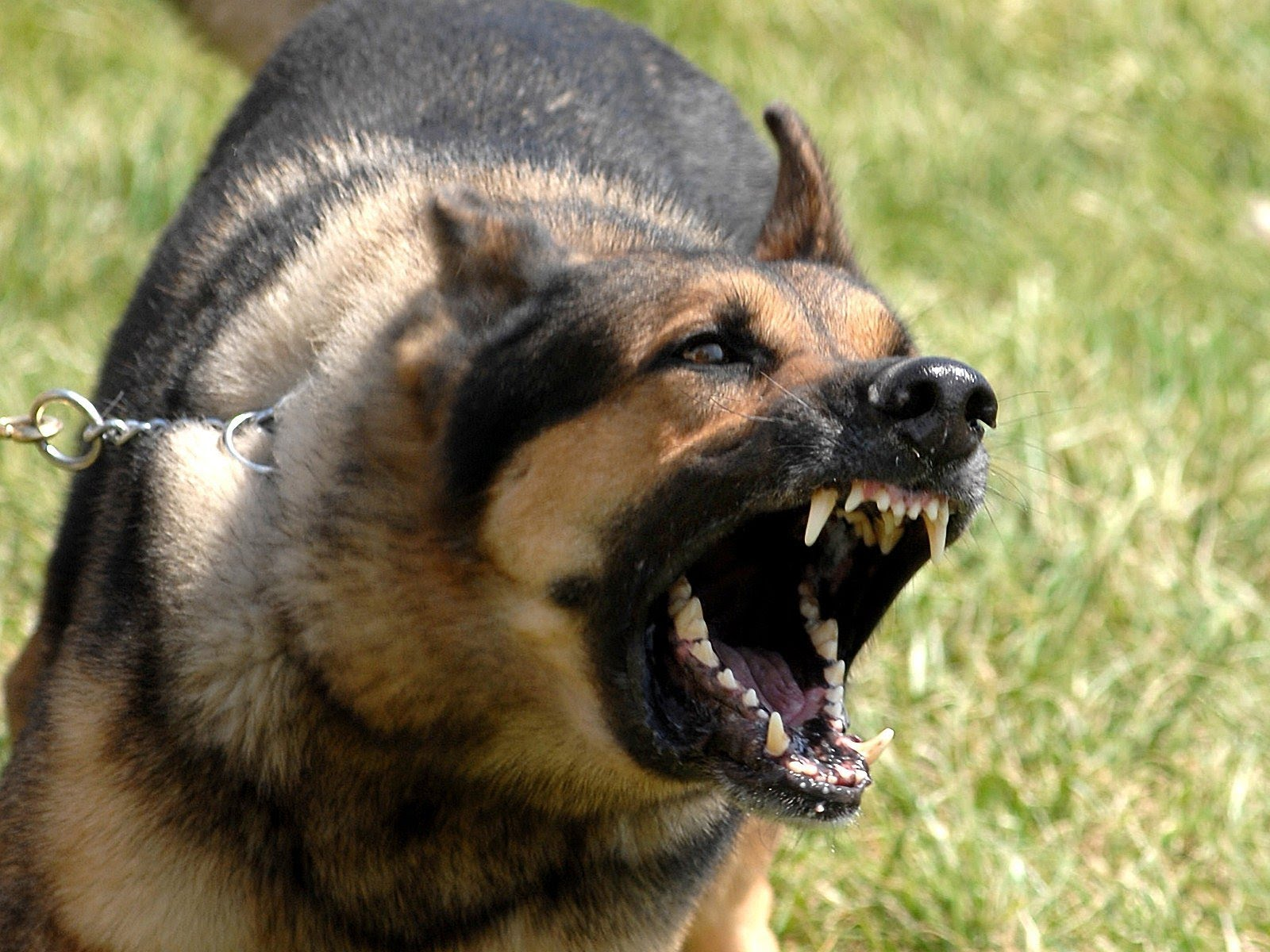 20 Most Aggressive, Strong and Vicious Guard Dogs in the world - YouTube