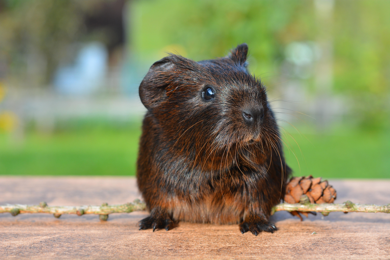 Guinea photo