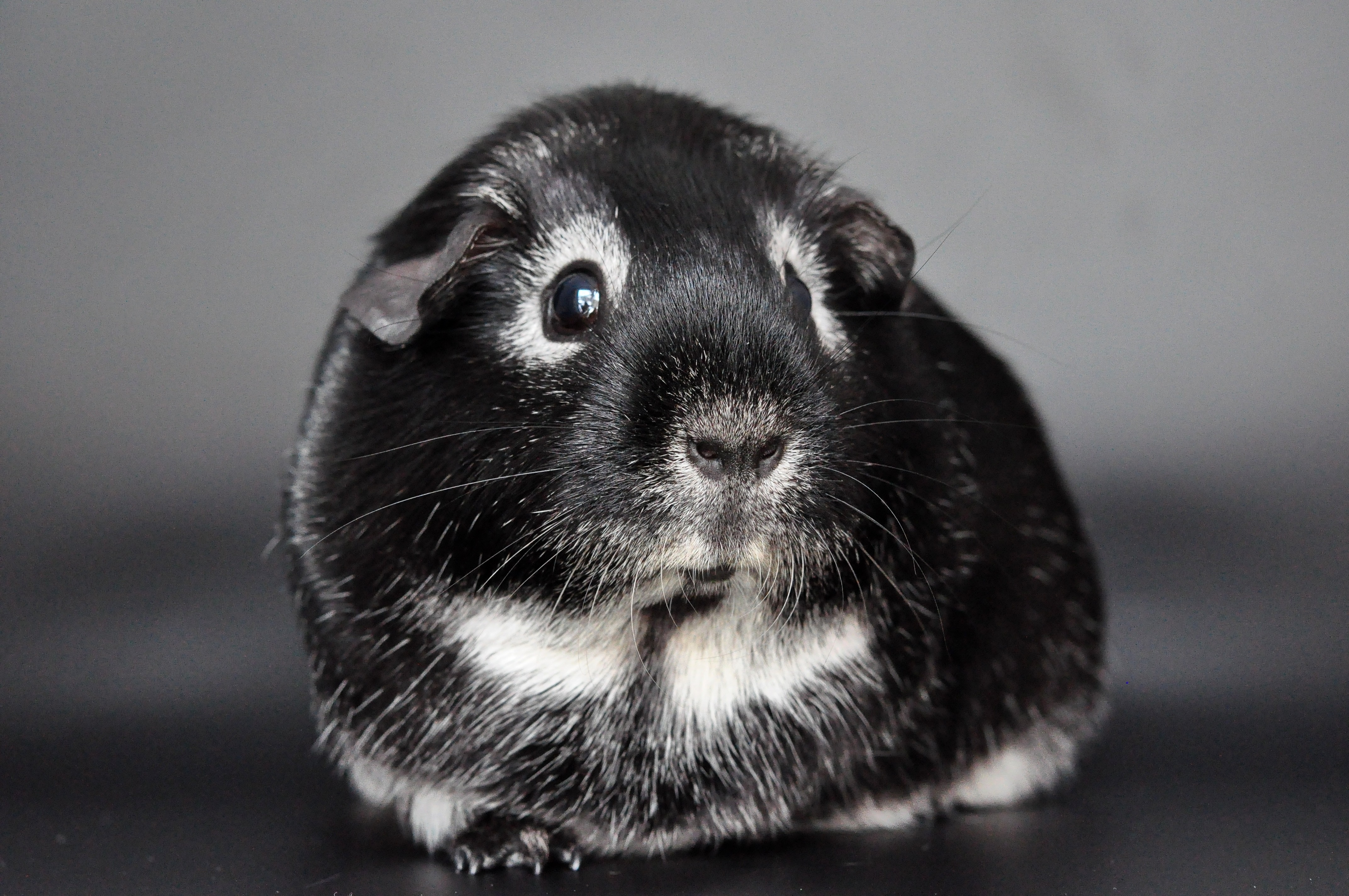 Guinea pig, Animal, Friend, Guinea, Loyal, HQ Photo