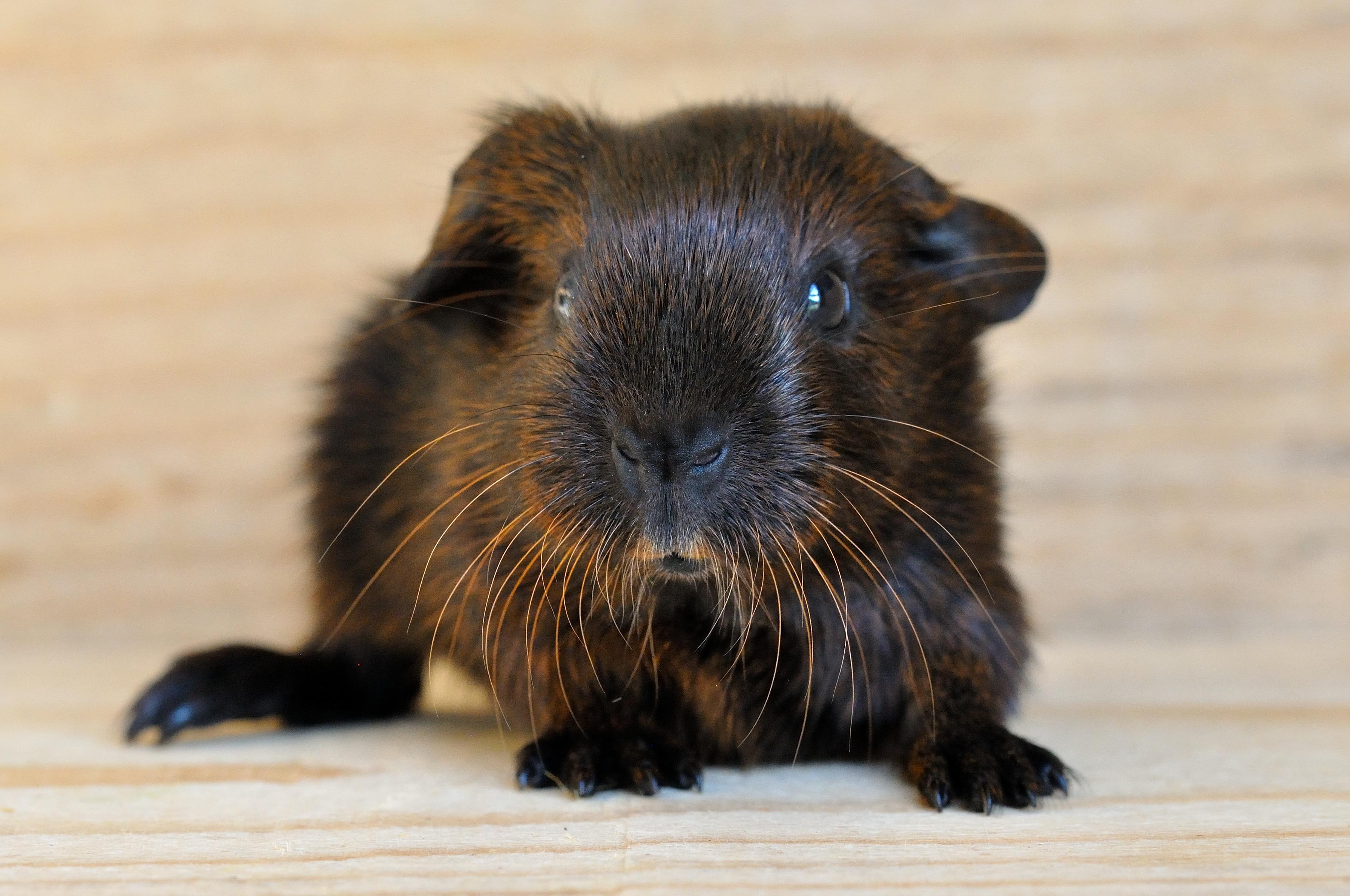 Guinea Pig, Adorable, Animal, Cute, Friend, HQ Photo