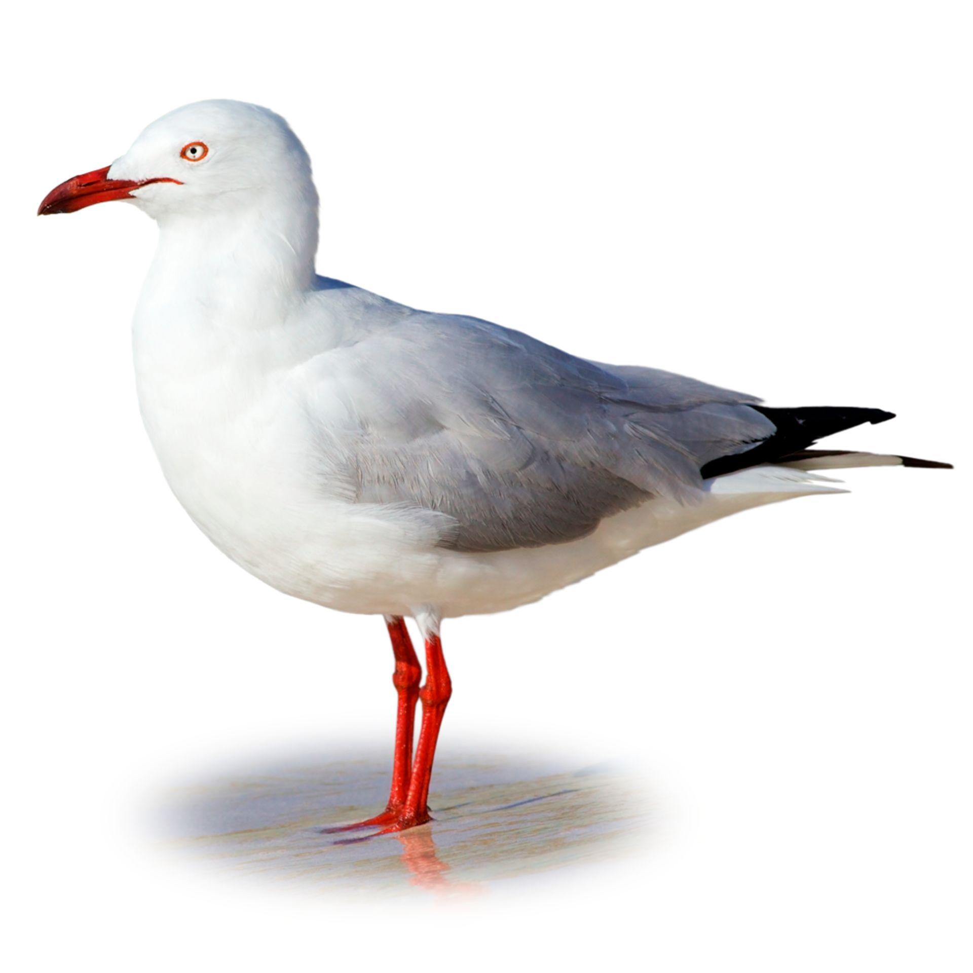 Gulls photo