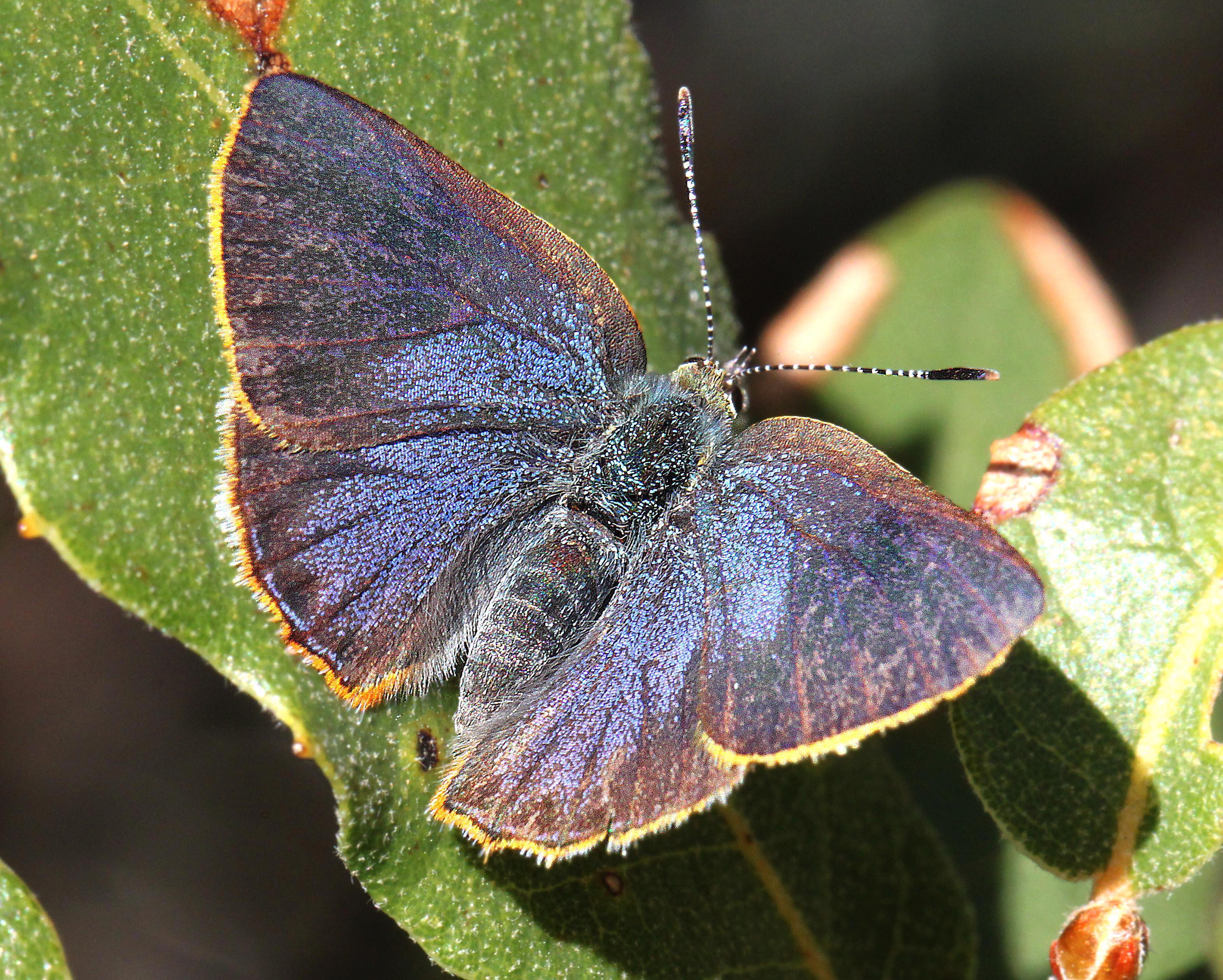 HAIRSTREAK, ARIZONA (Erora quaderma) (4-12-12) madera cyn, scc, az -01b, Animal, Butterfly, Foliage, Insect, HQ Photo