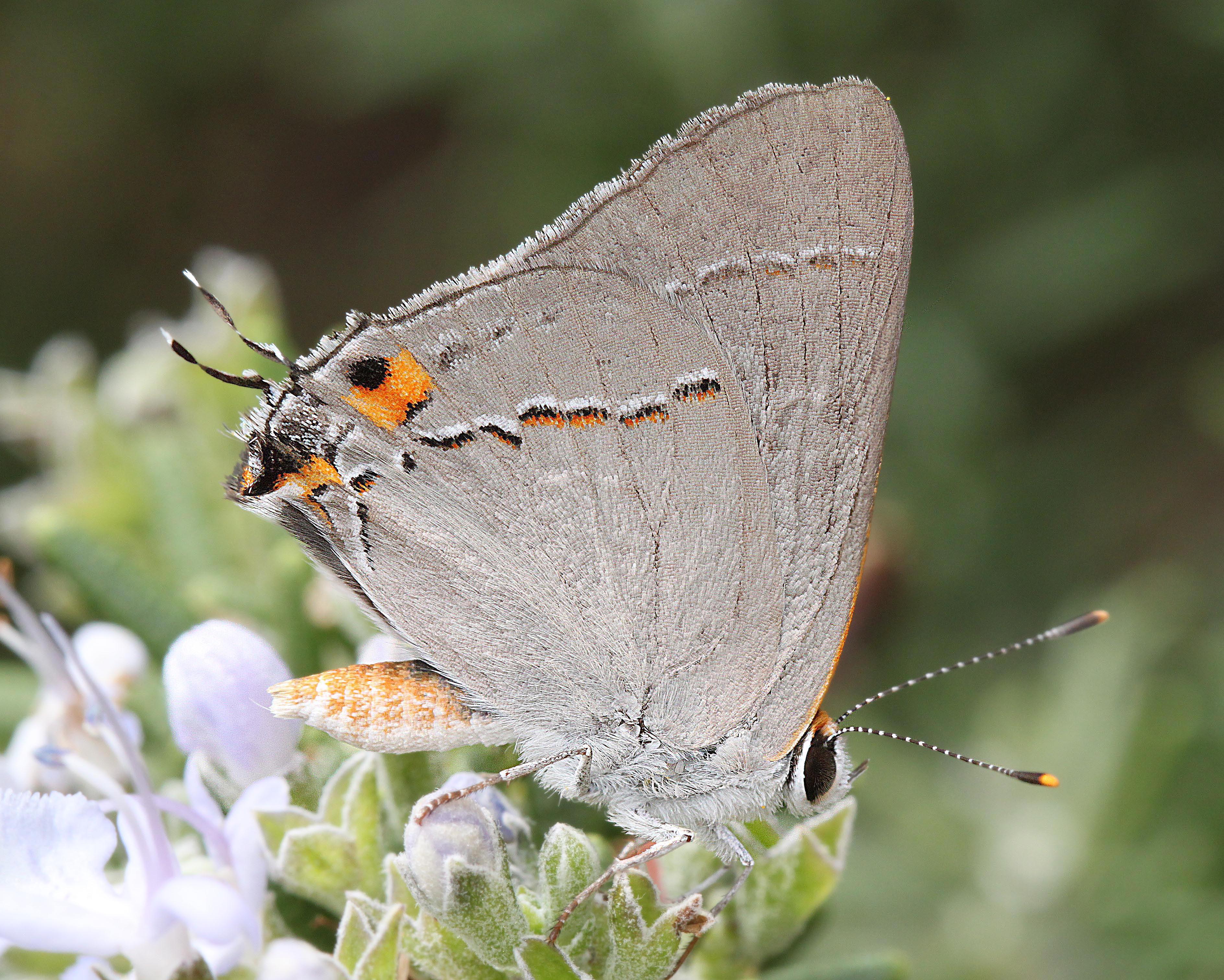 Hairstreak, gray (strymon melinus) (9-5-11) 78 circulo montana, patagonia lake ranch estates, scc, az (1) photo