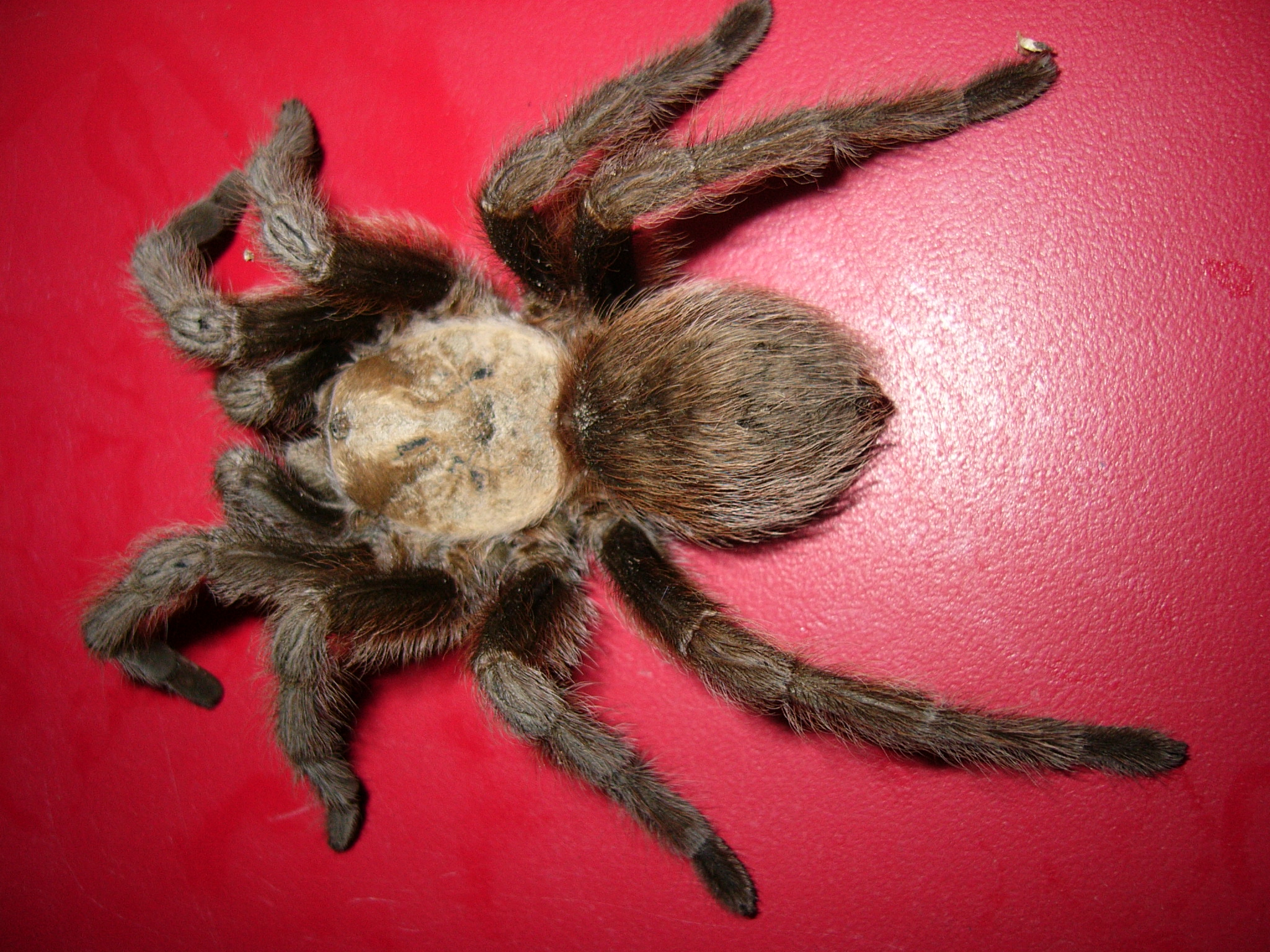 Large hairy spider photo