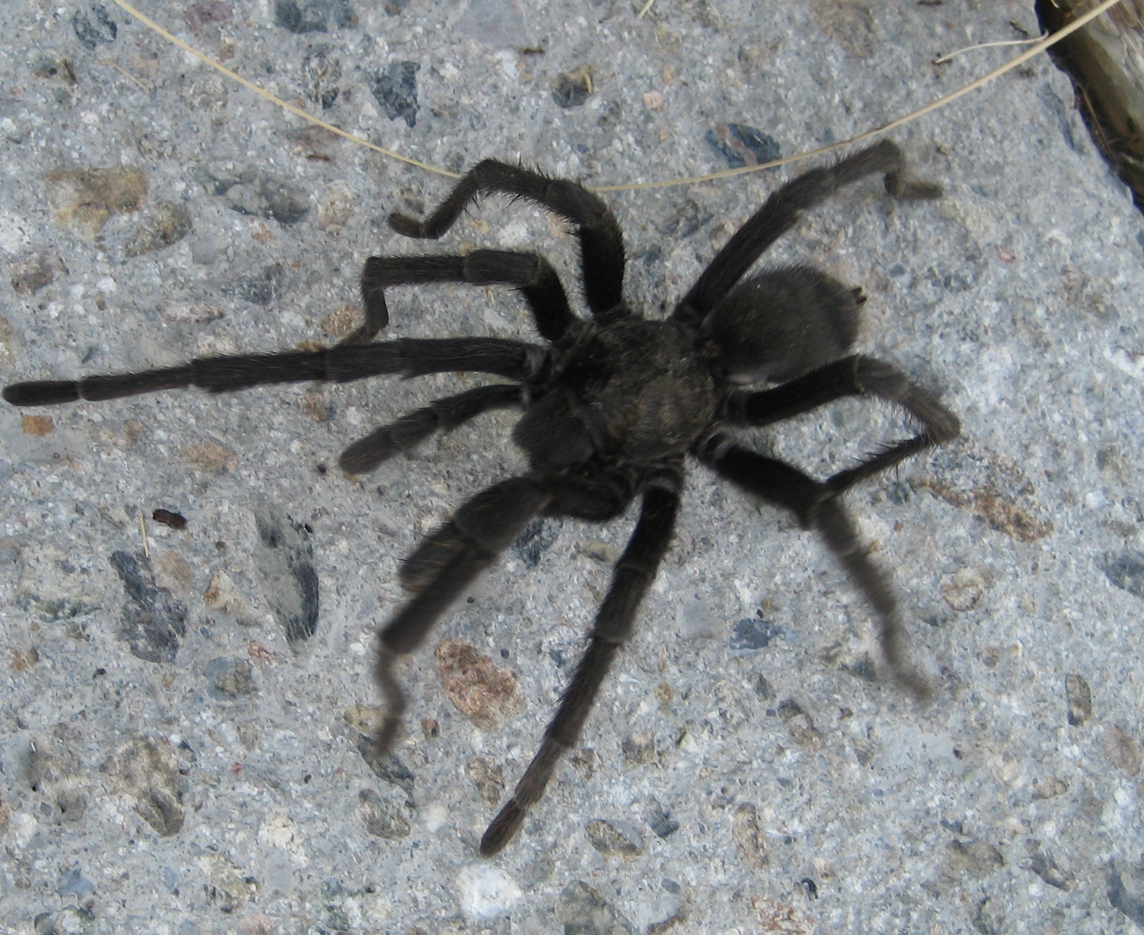 lucky dodo: another black hairy spider