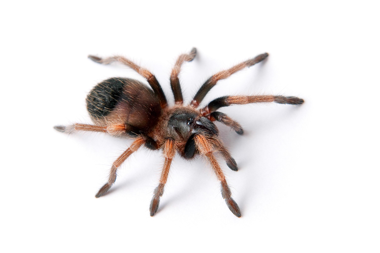 Hairy Spider, Albopilosum, Sign, Nature, One, HQ Photo