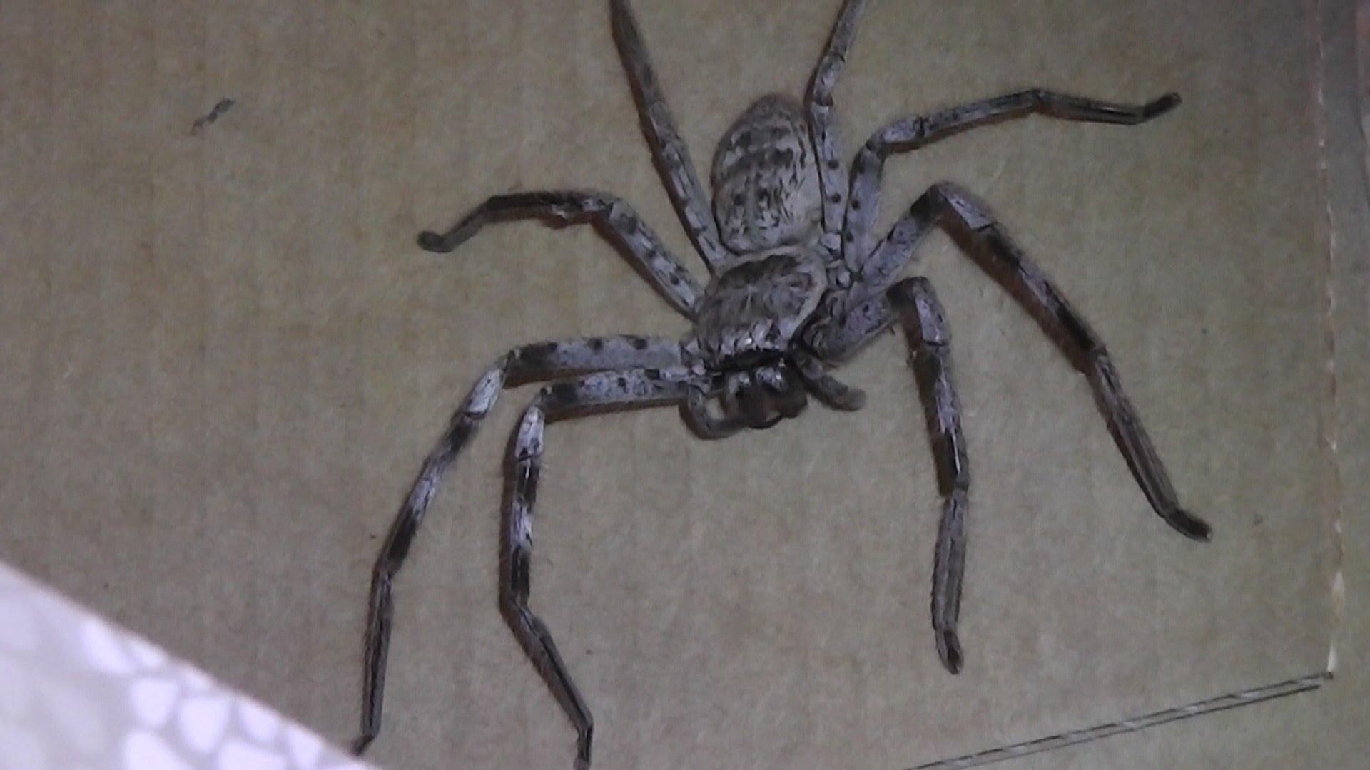 Big Hairy Spider - YouTube