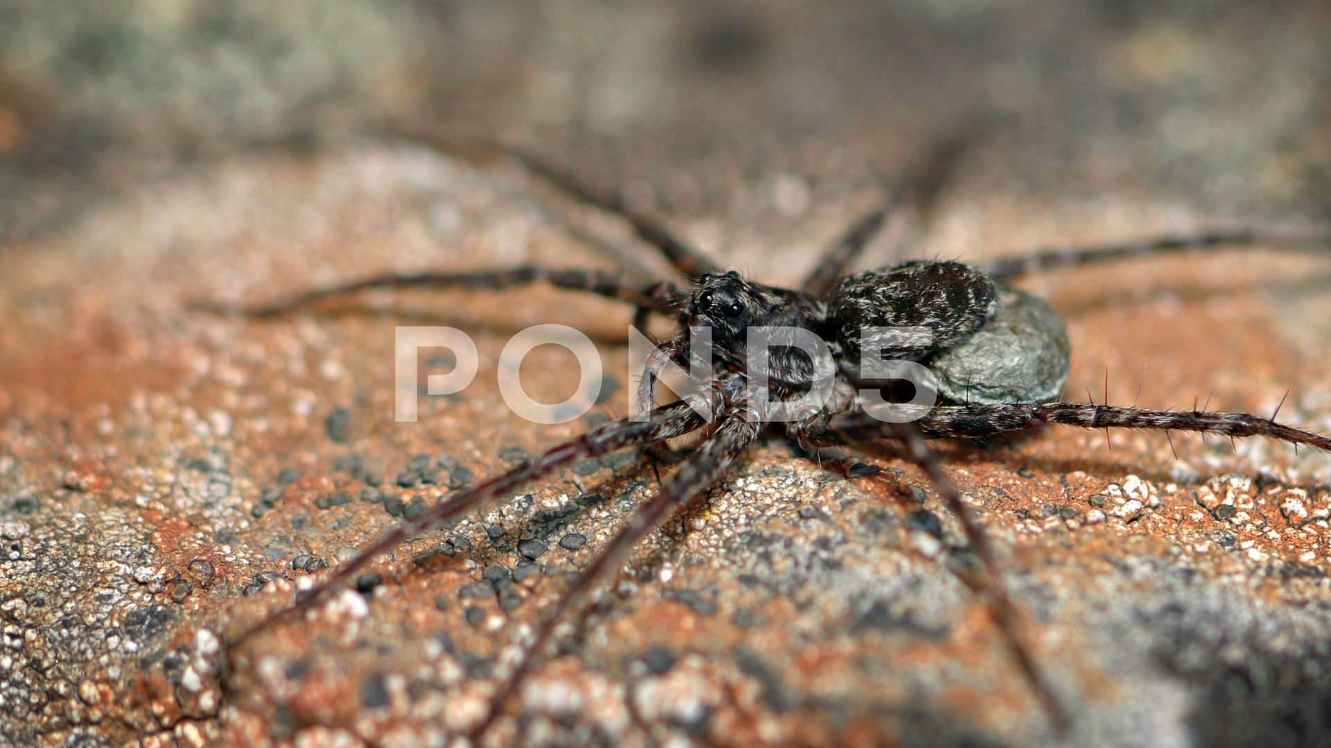 Closeup of a Large Hairy Spider on a Rock ~ Footage #71765488
