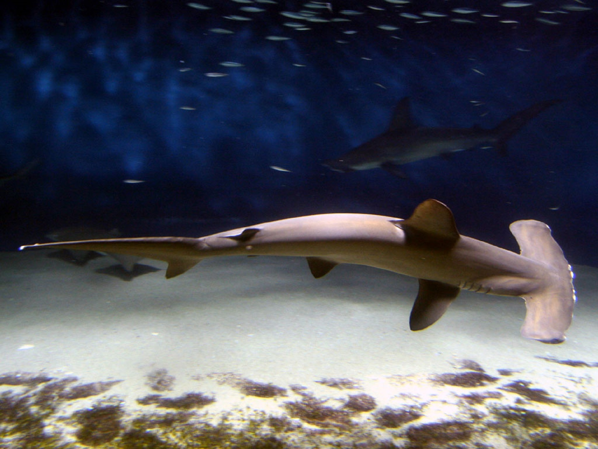 Hammerhead shark photo