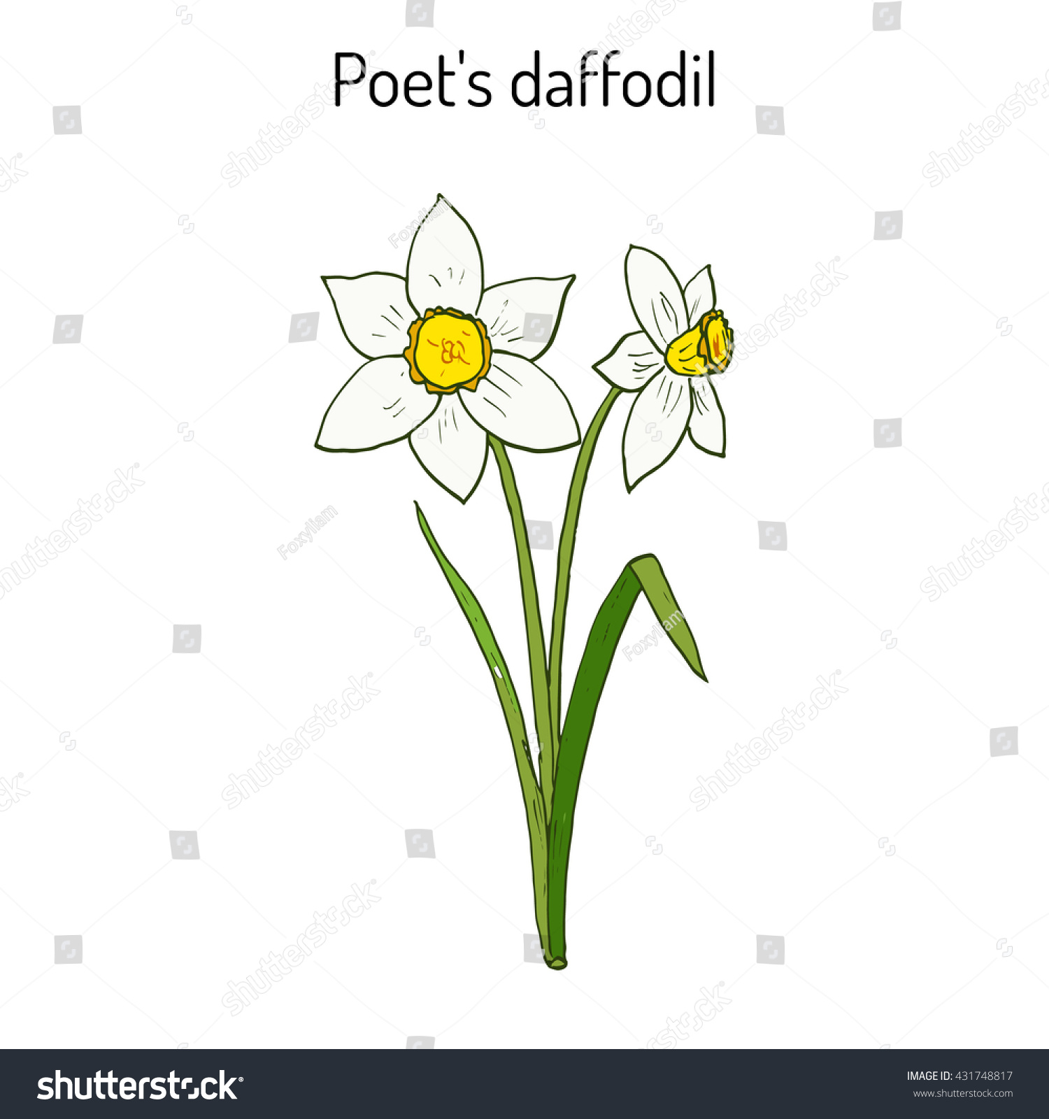 Narcissus Daffodil Daffadowndilly Jonquil Hand Drawn Stock Vector ...