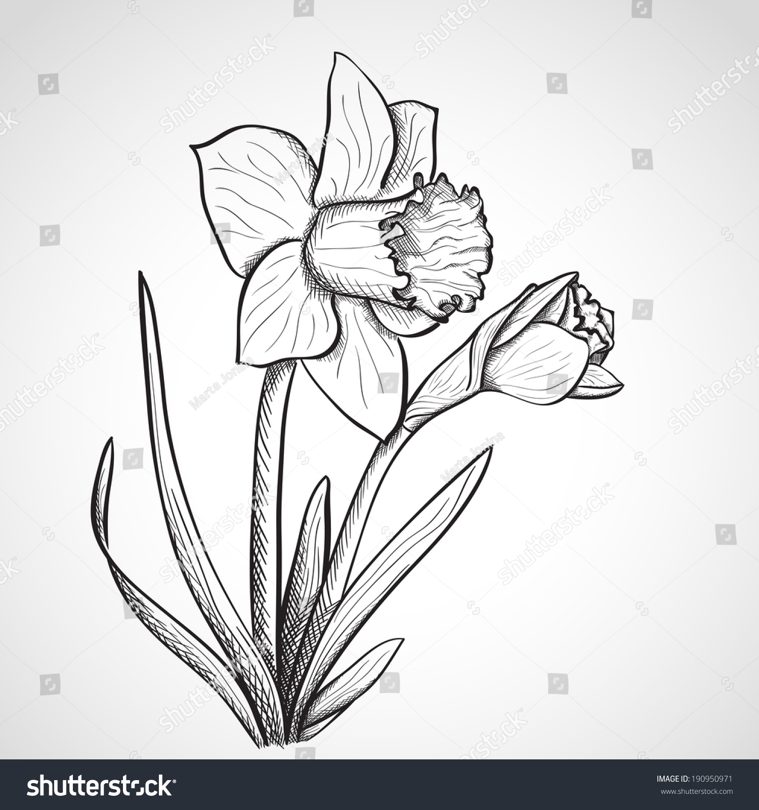 Sketch Daffodil Hand Drawn Ink Style Stock Vector 190950971 ...