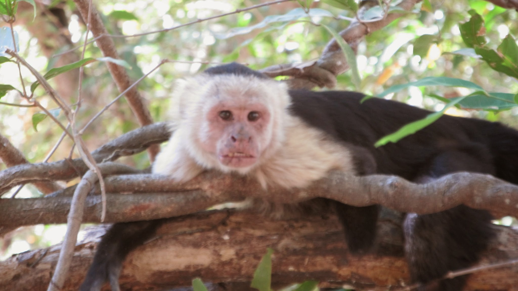 Social Drama in the Workplace - Lomas Barbudal Monkey Project