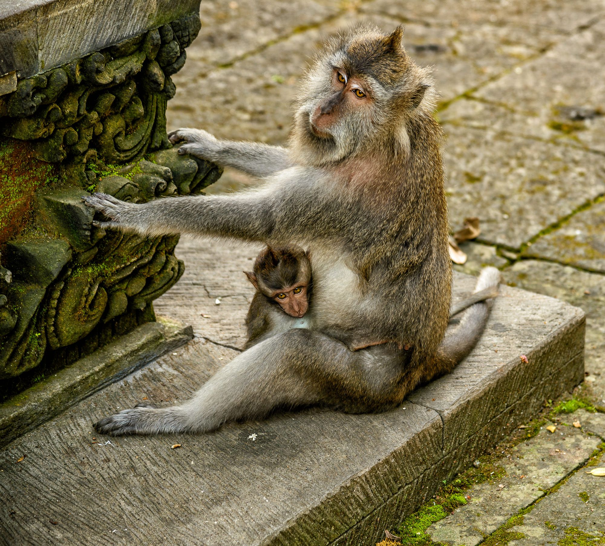 Baby monkey and its mother in an indonesian temple | Vita da Macaco ...