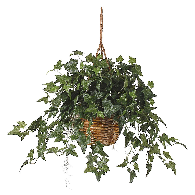 Ivy plant photo