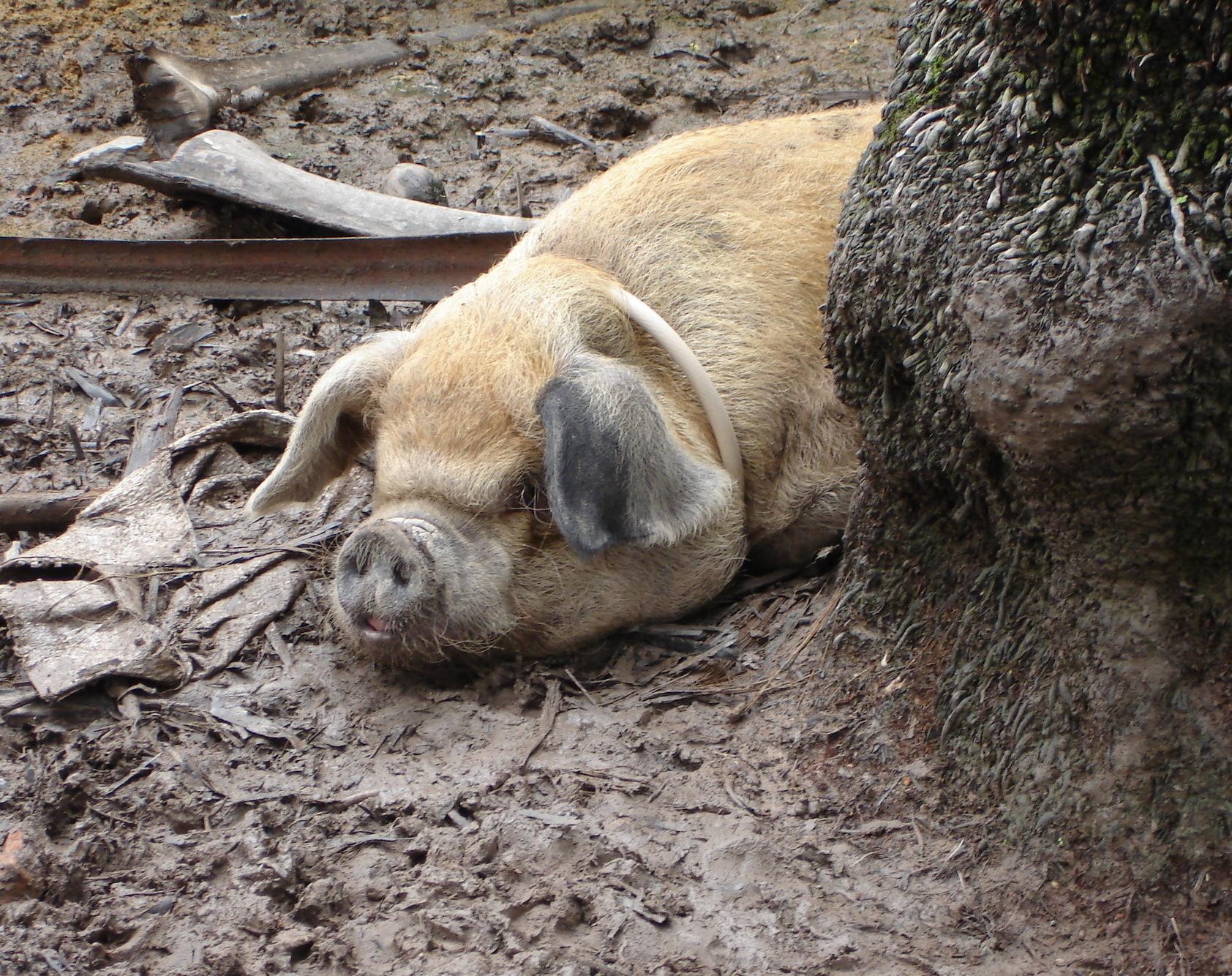 Happy as a pig...., Animal, Dirty, Farm, Hog, HQ Photo