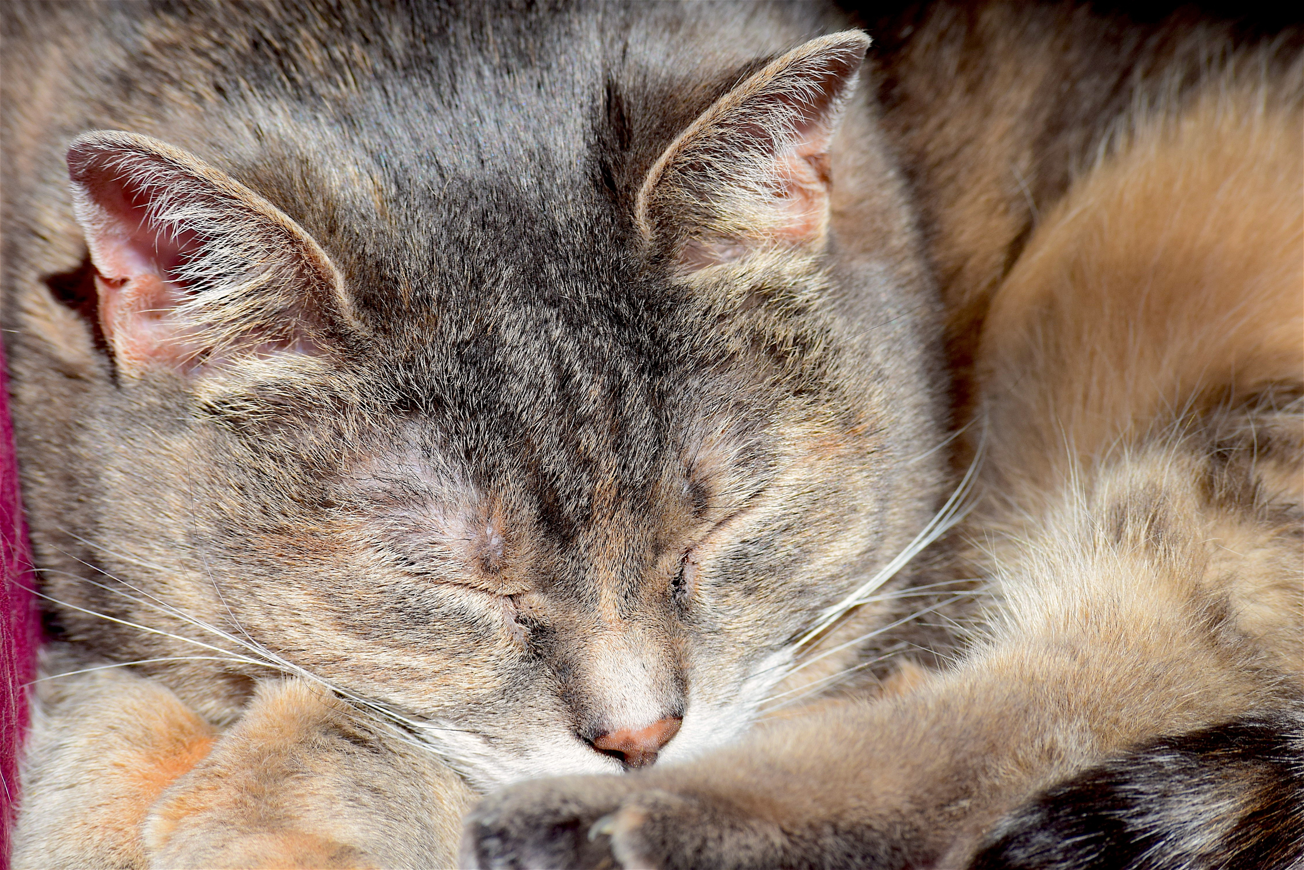 Free Images : sleeping cat, portrait, animal, pet, cute, domestic ...