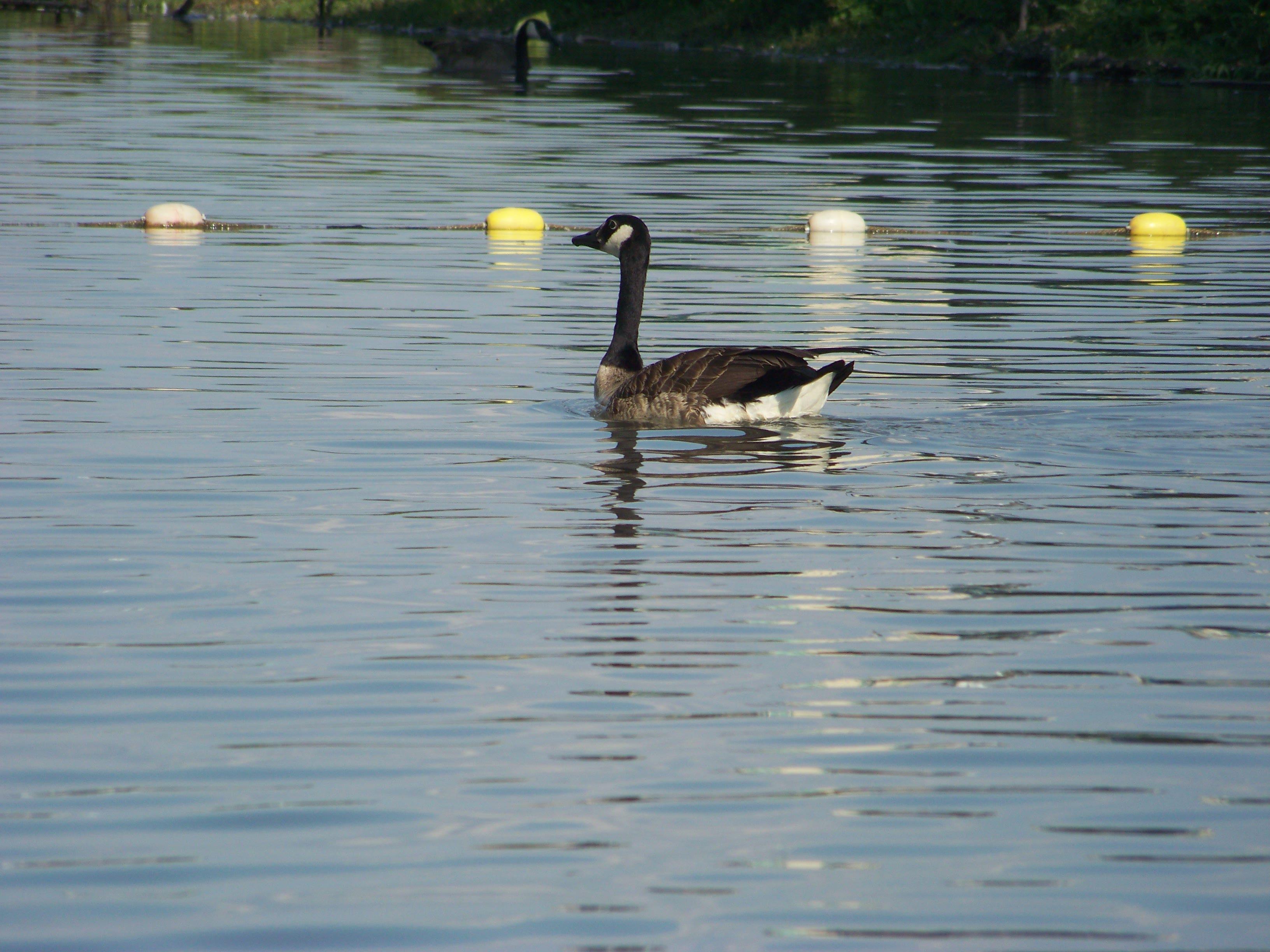 Happy goose photo