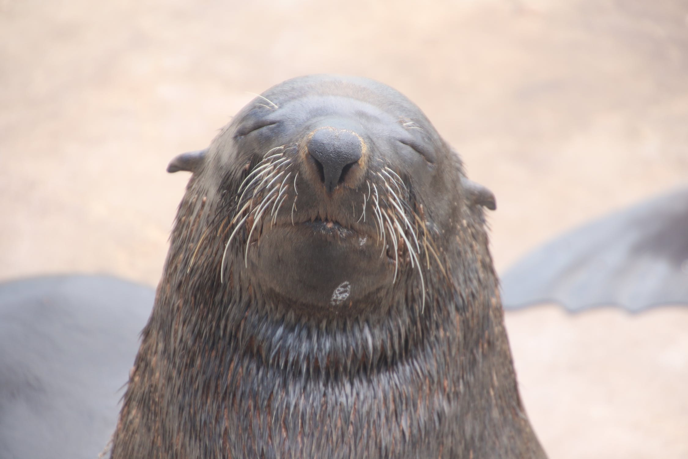 Happy walrus smiles photo