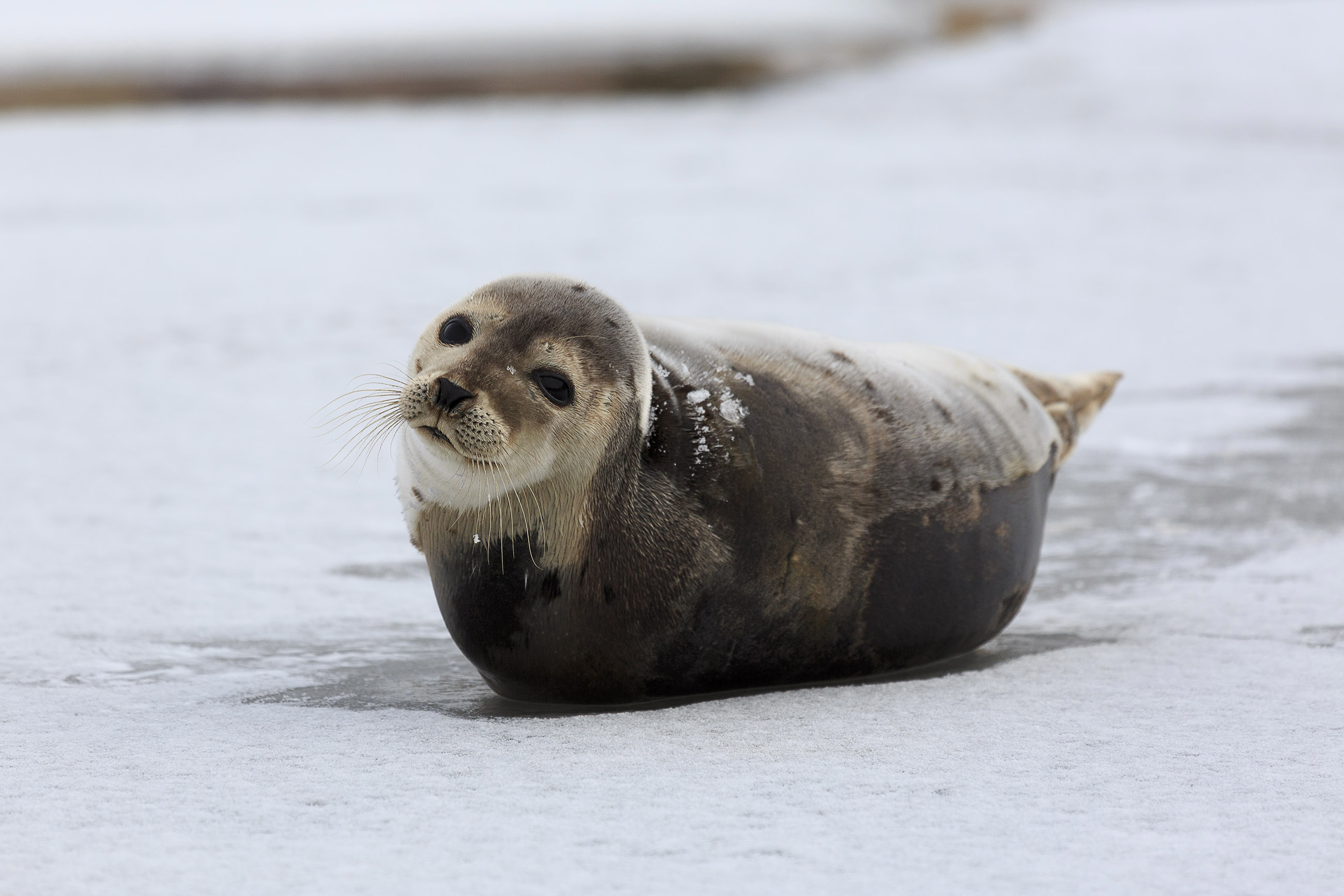 Harp seal photo