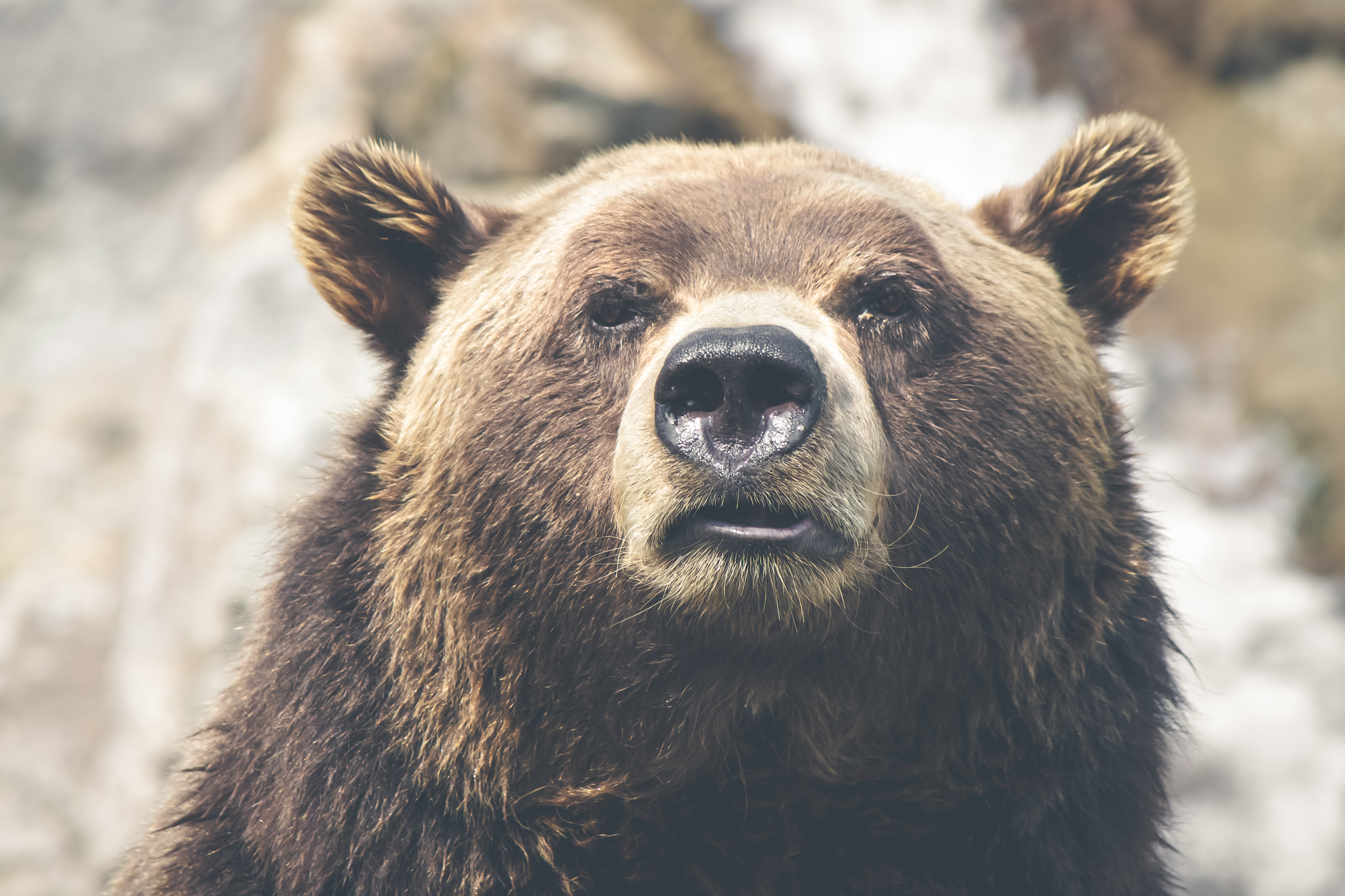 Head of Grizzly Bear, Animal, Bear, Brown, Carnivore, HQ Photo