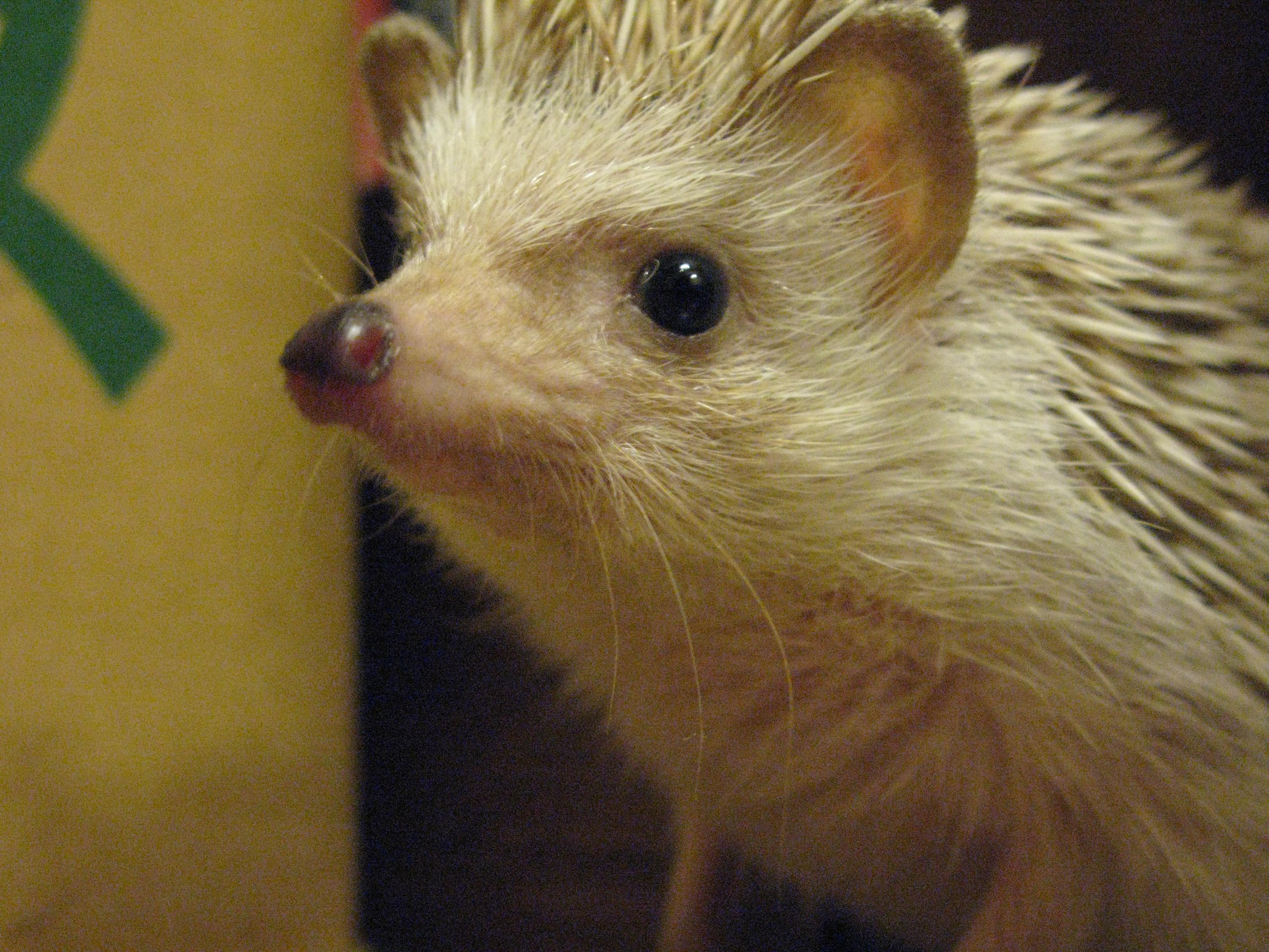 Hedgehog closeup photo