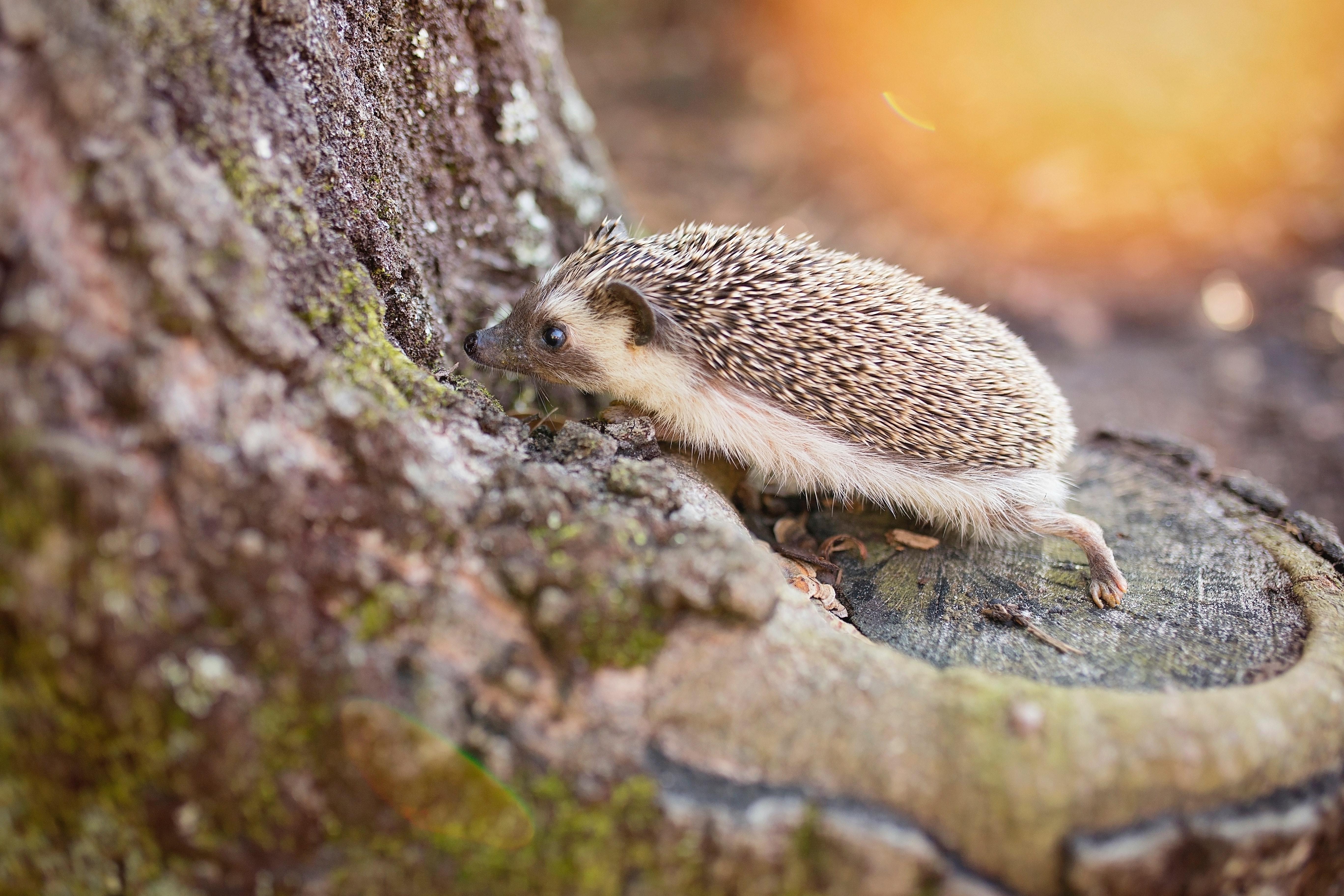 Hedgehog on brown tree photo