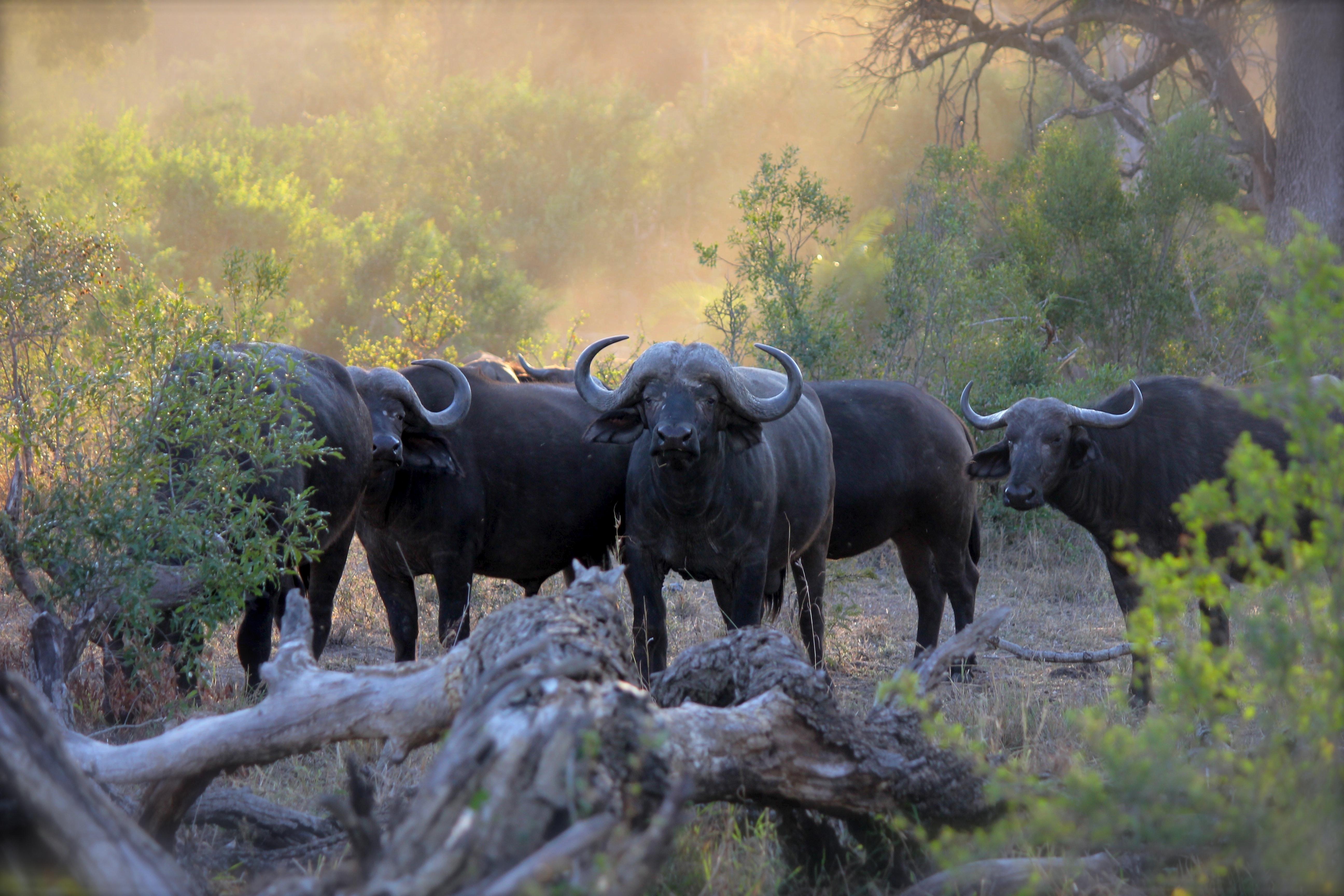 Herd of black water buffaloes photo