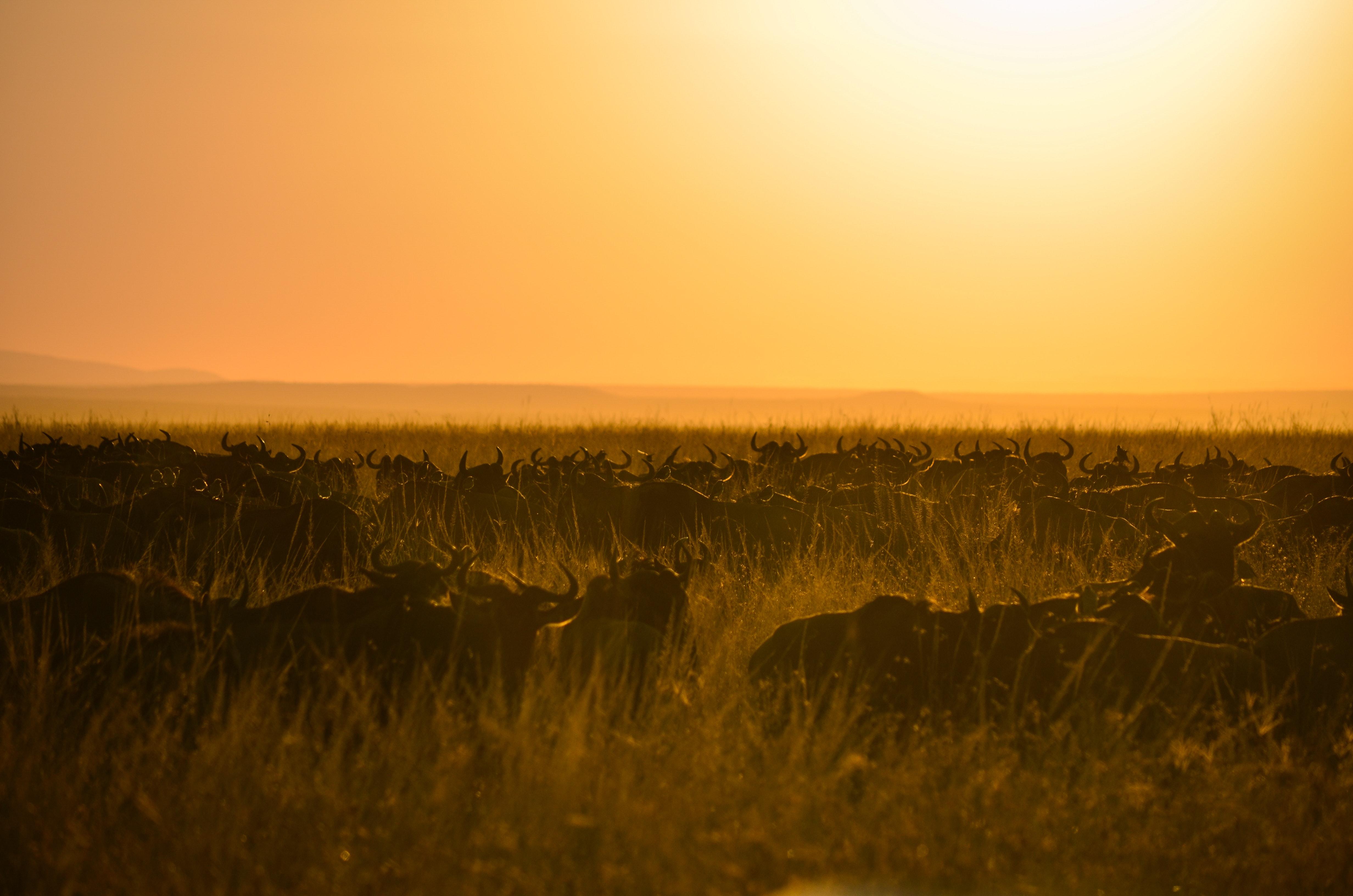 Herd of buffalo during sunset photo