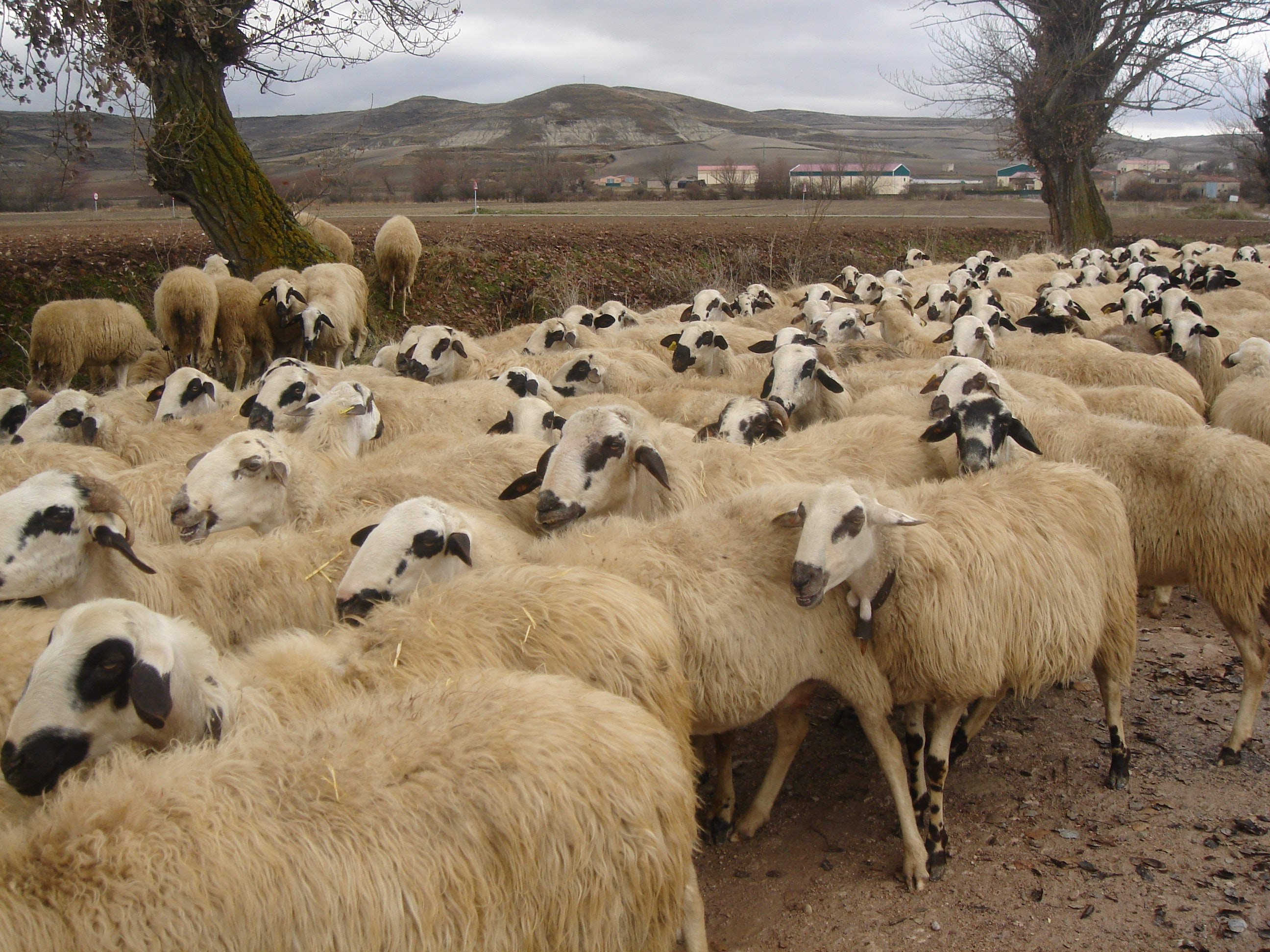 Herd of Sheep, Agriculture, Livestock, Trees, Sheep, HQ Photo